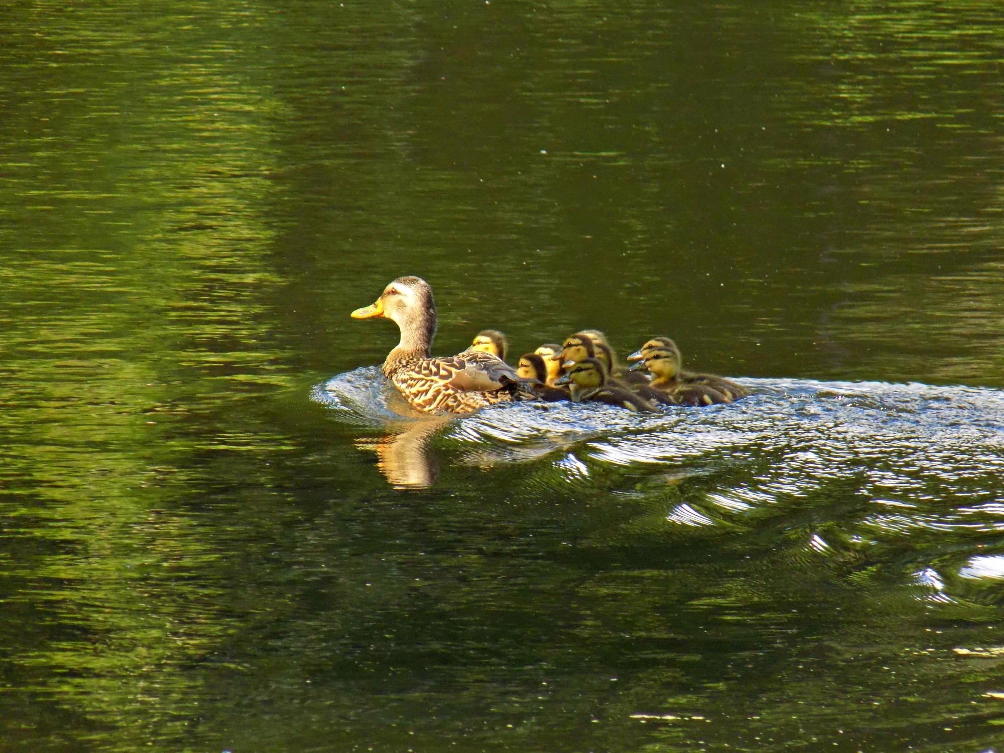 duck family by Erin Elizabeth Gilbert