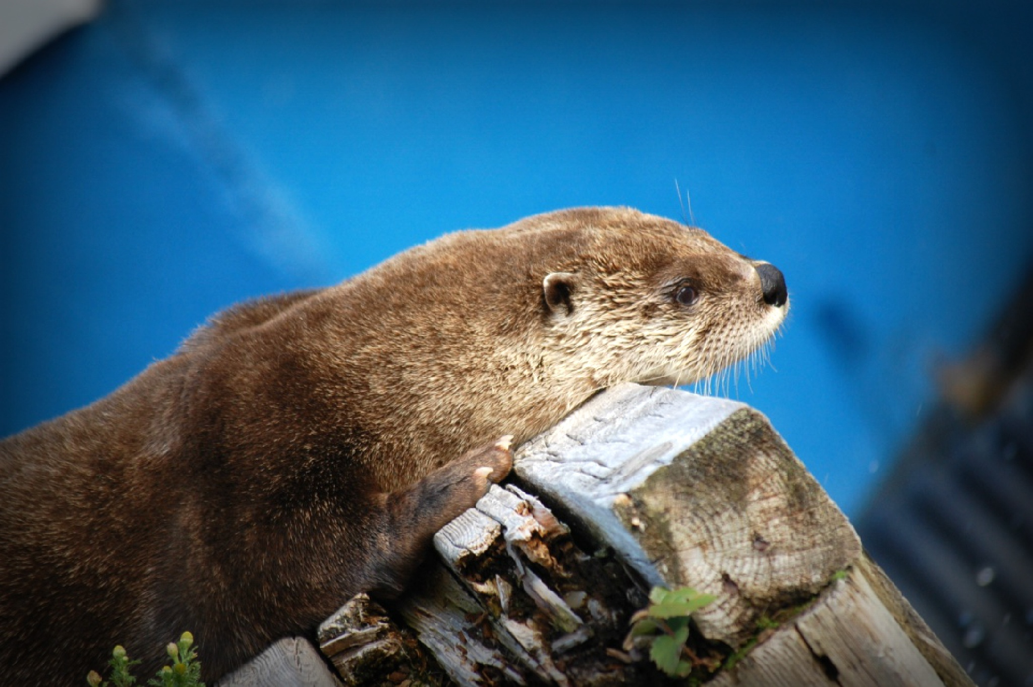 Otter#5 by Giggles79
