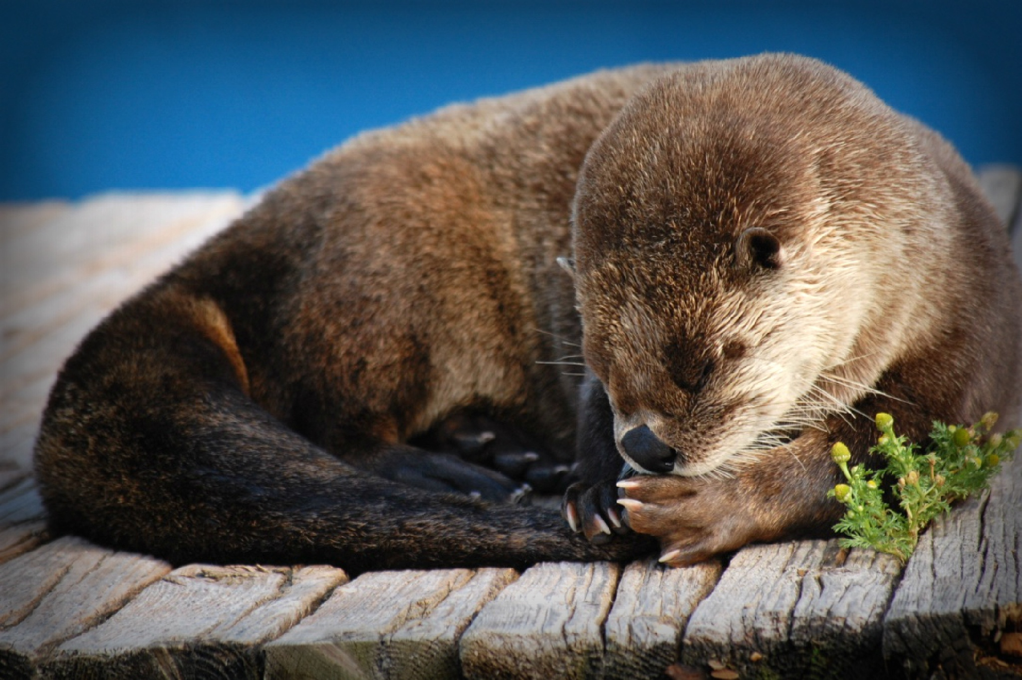 Otter #7 by Giggles79