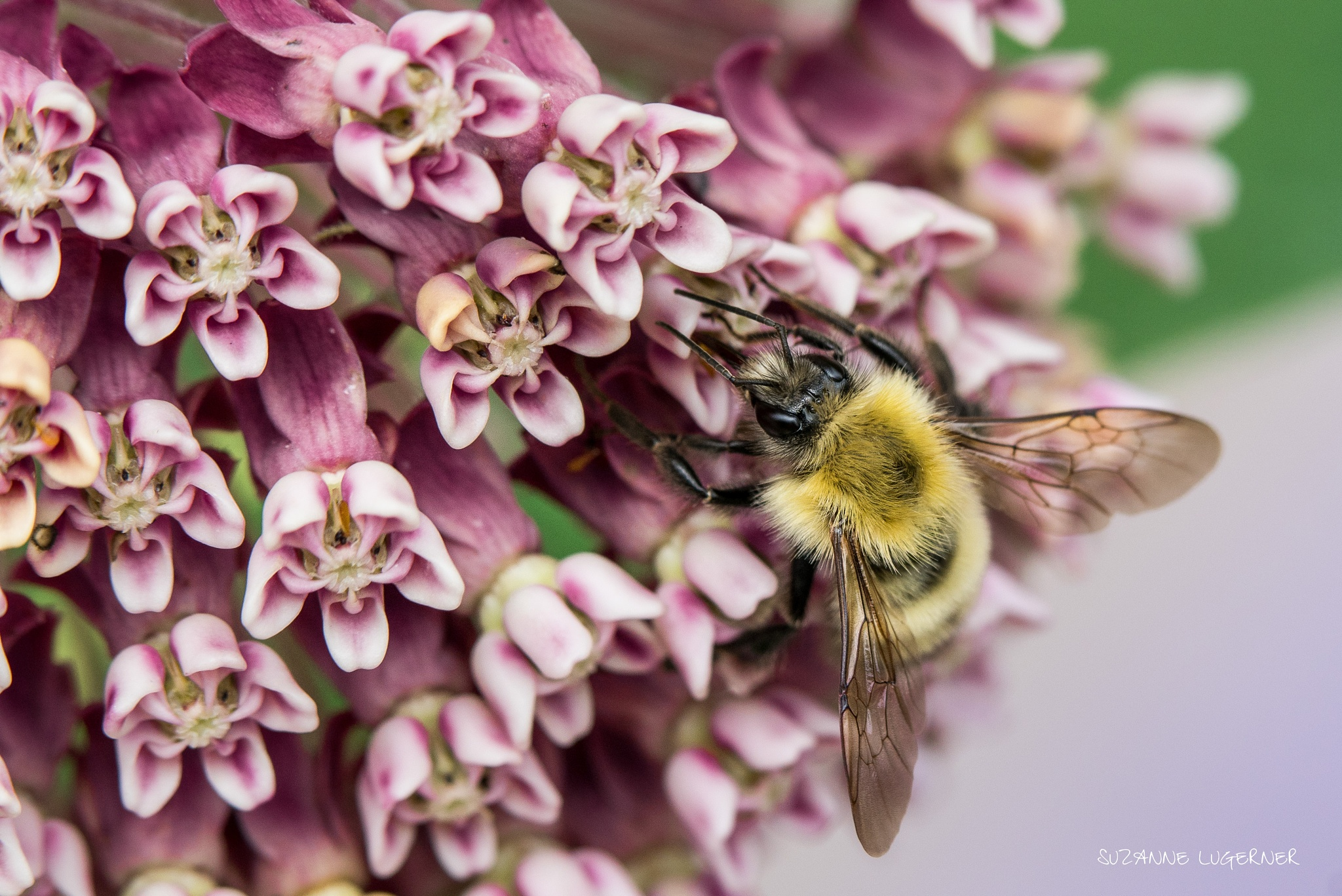Bee on the Milkweed by Suzanne