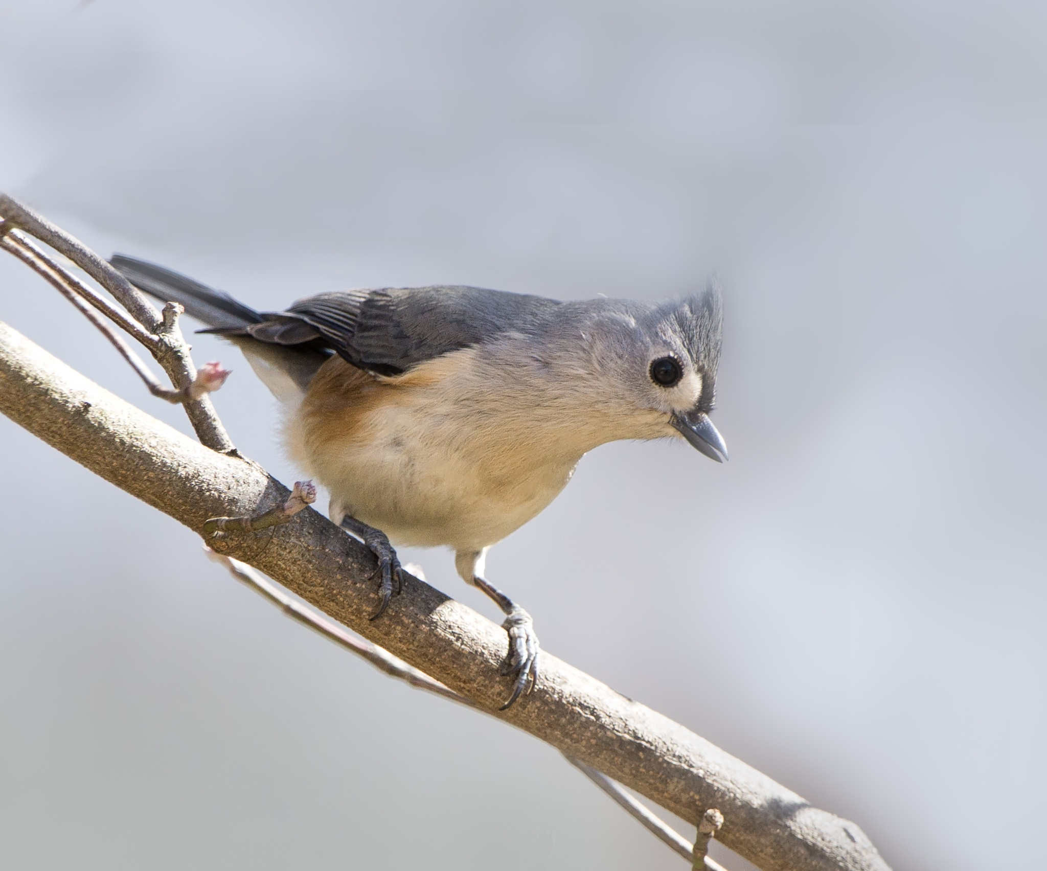 Photo in Animal #bird #tufted titmouse #wildlife #backyardbirds