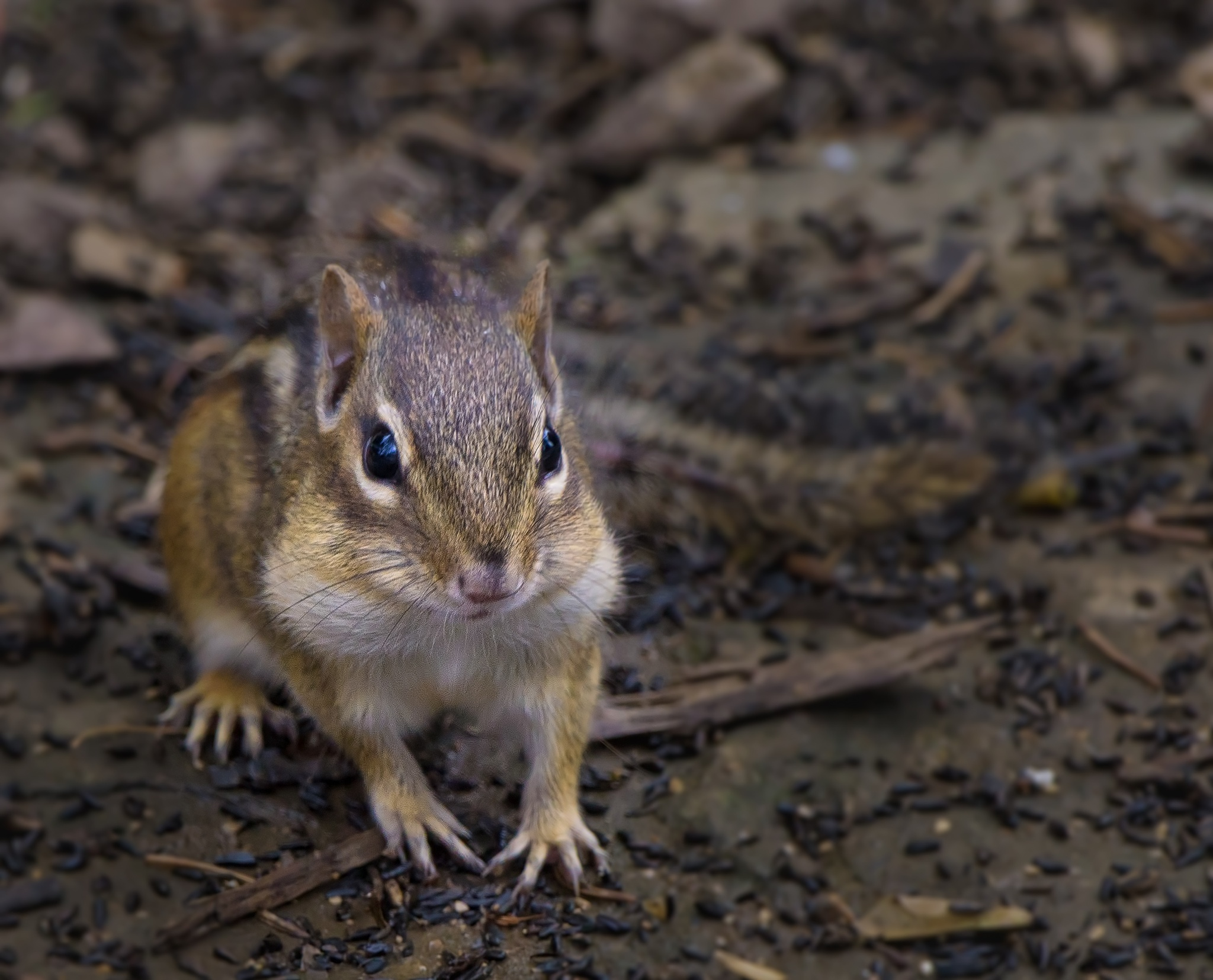 Eastern Chipmunk by Suzanne