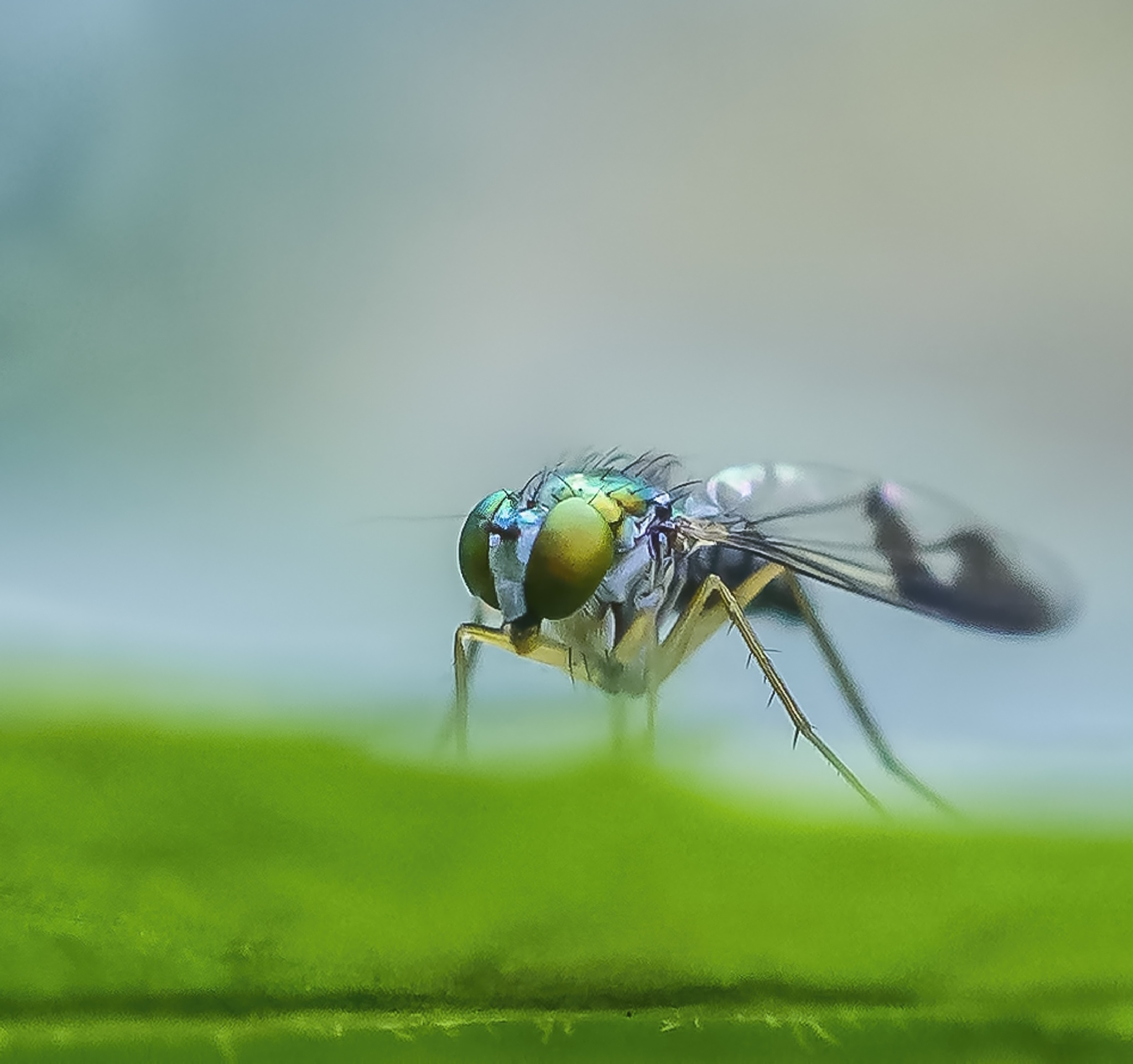 Long Legged Fly by Suzanne