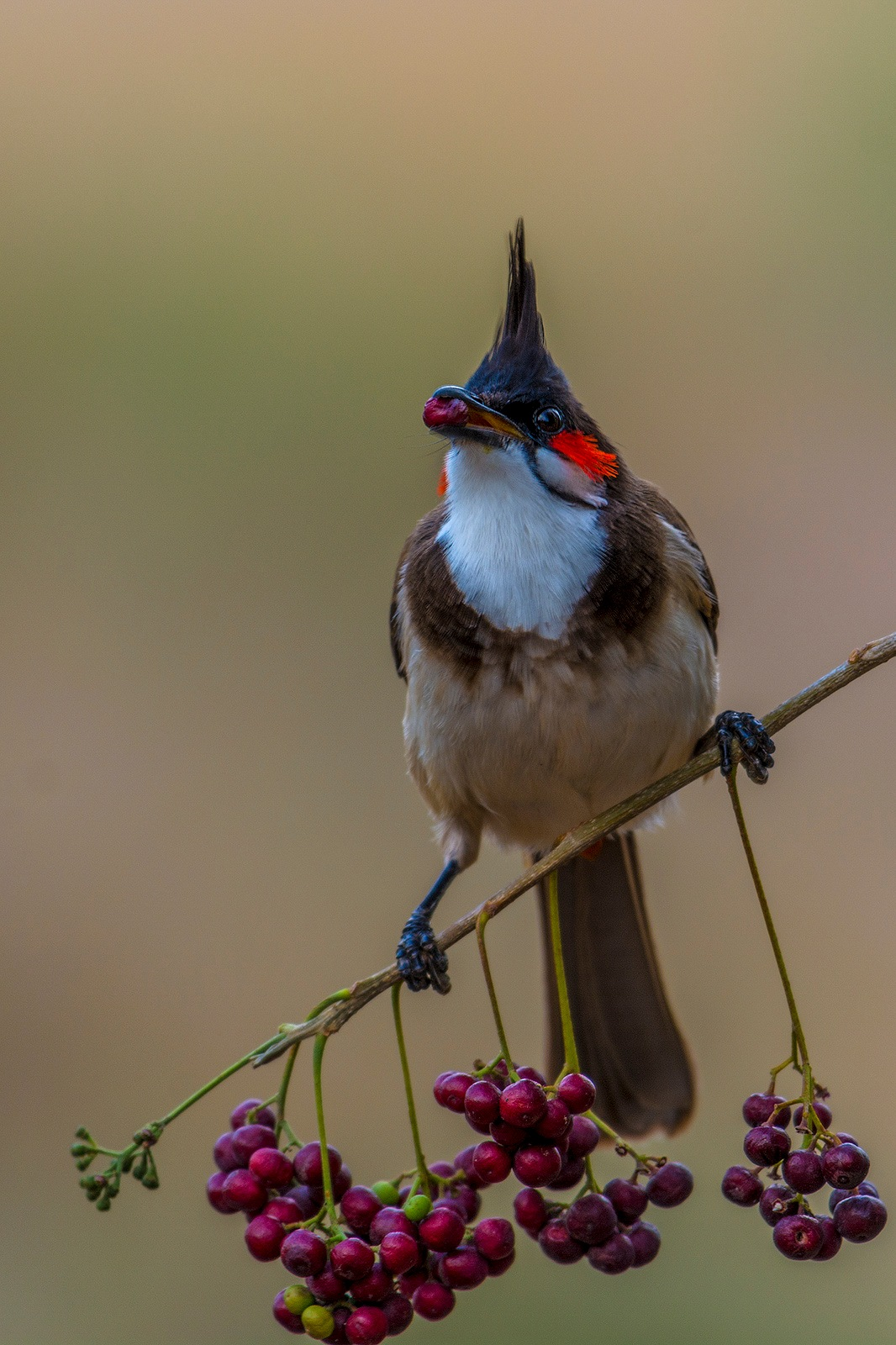 Red-whiskered Bulbul by Petermoses