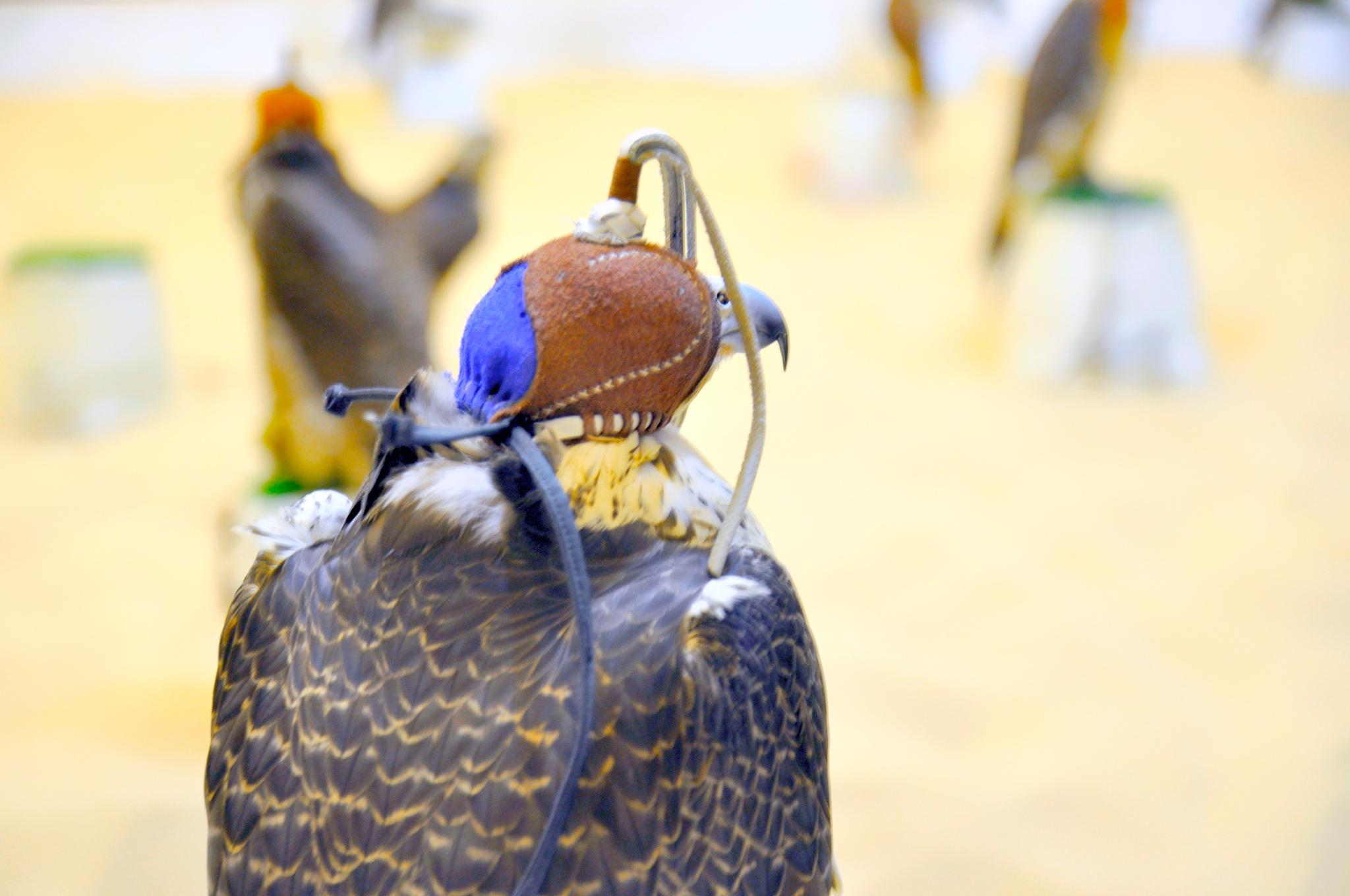 The Masked Arabian Hawk by Sadiq Ali AlQatari
