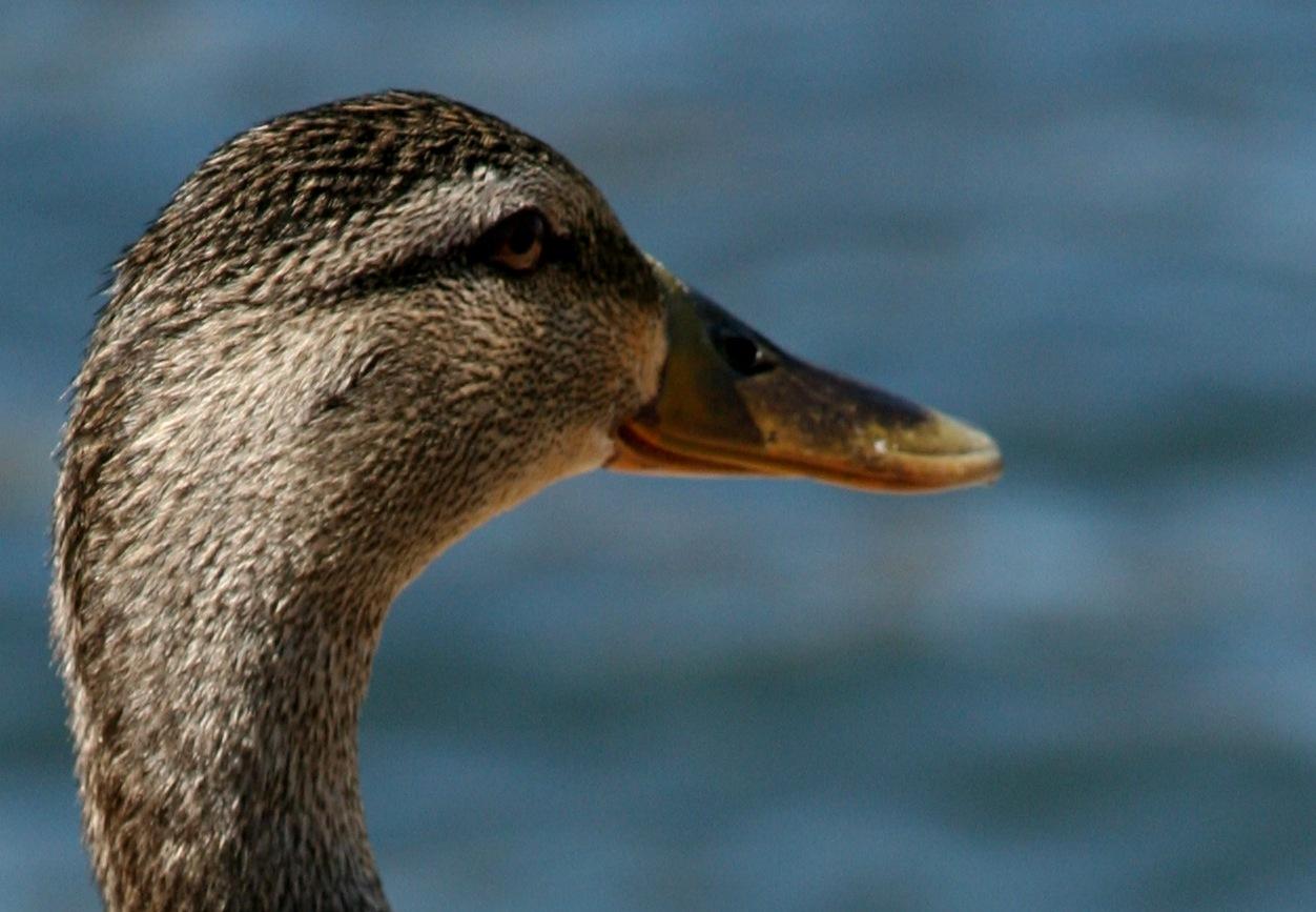 Male Duck by Sadiq Ali AlQatari