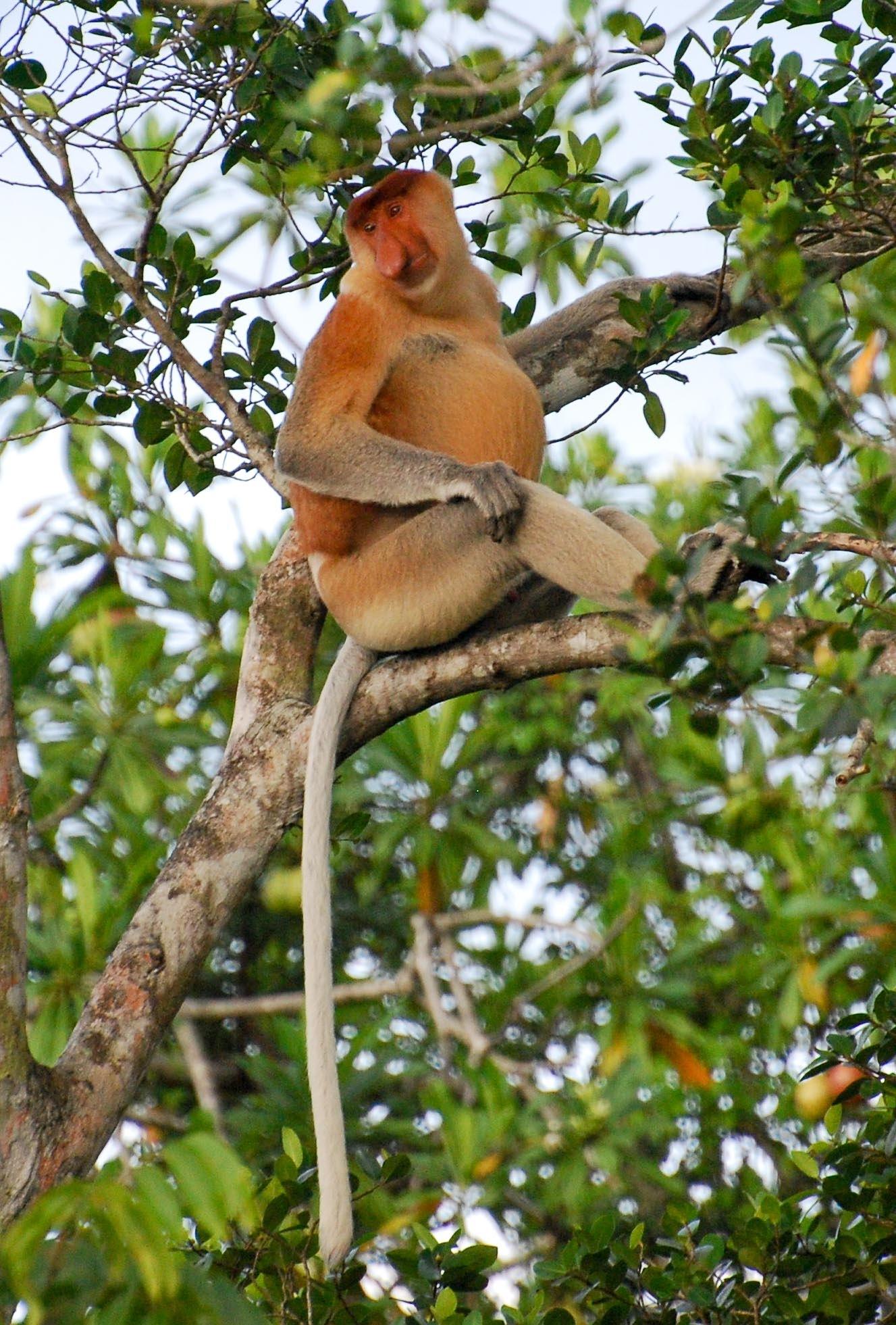 Alfa Male Proboscis Monkey by Menaquin
