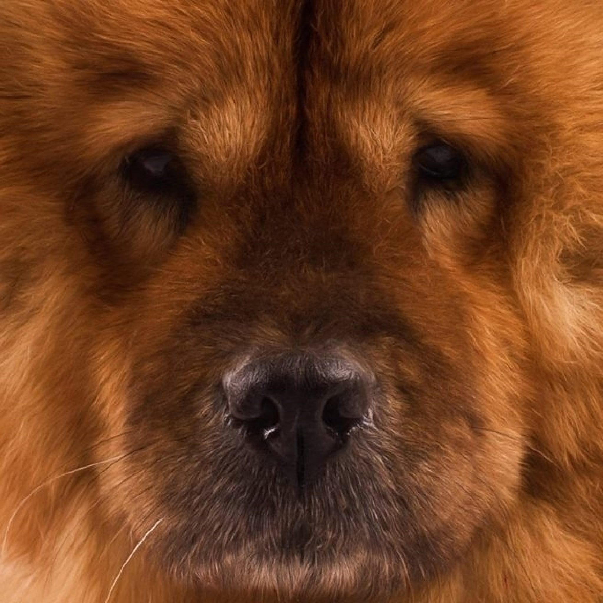 Chow Chow by joanneh