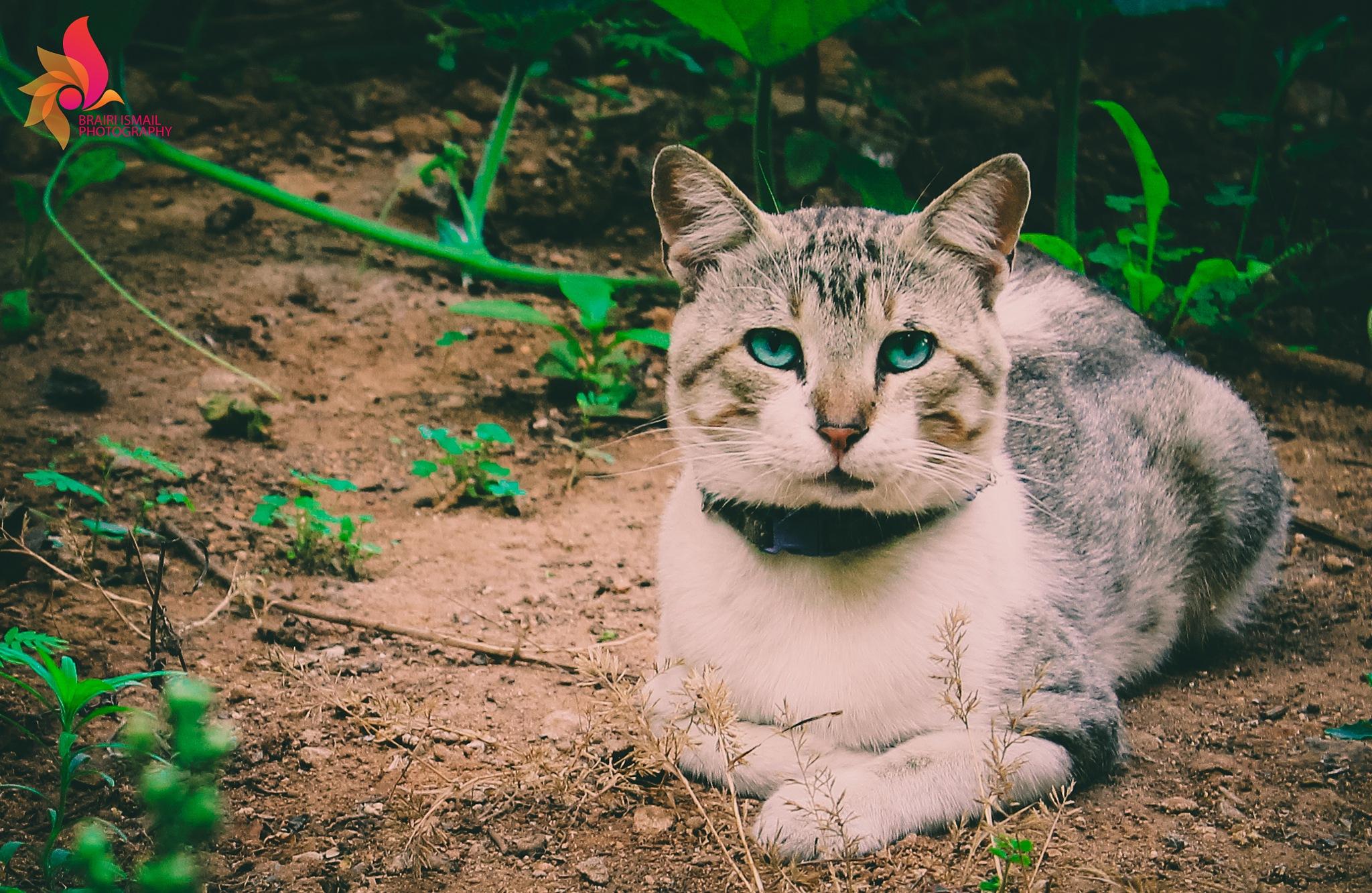 cat by Ismail Brairi