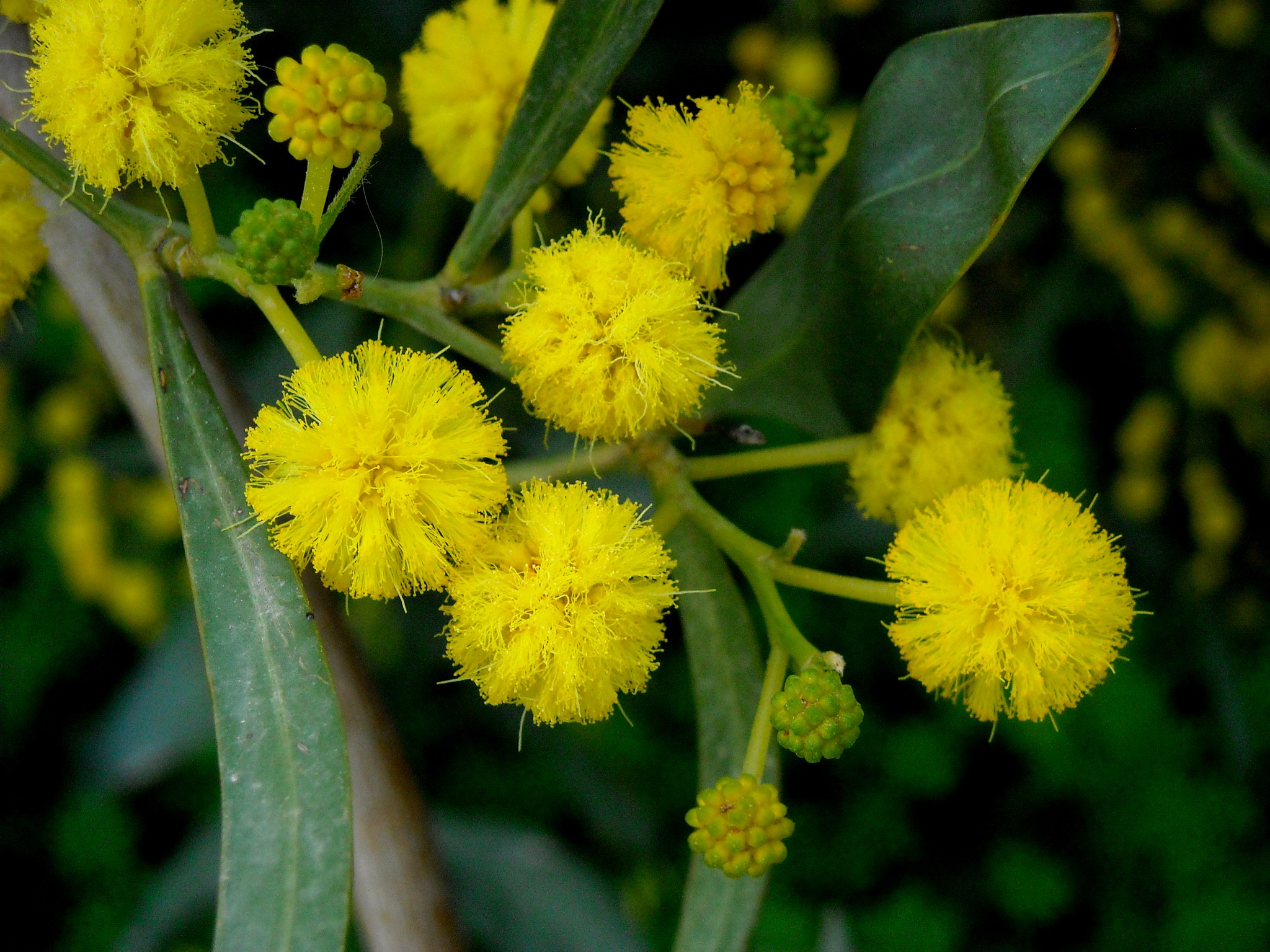 ACACIA CYANOPHYLLA FLOWERS, CLOSE UP by Akin Saner