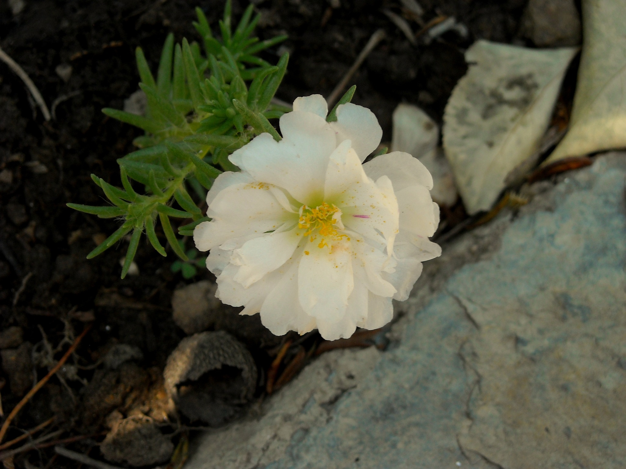 BEAUTIFUL WHITE SILK FLOWER BY THE PAVEMENT by Akin Saner