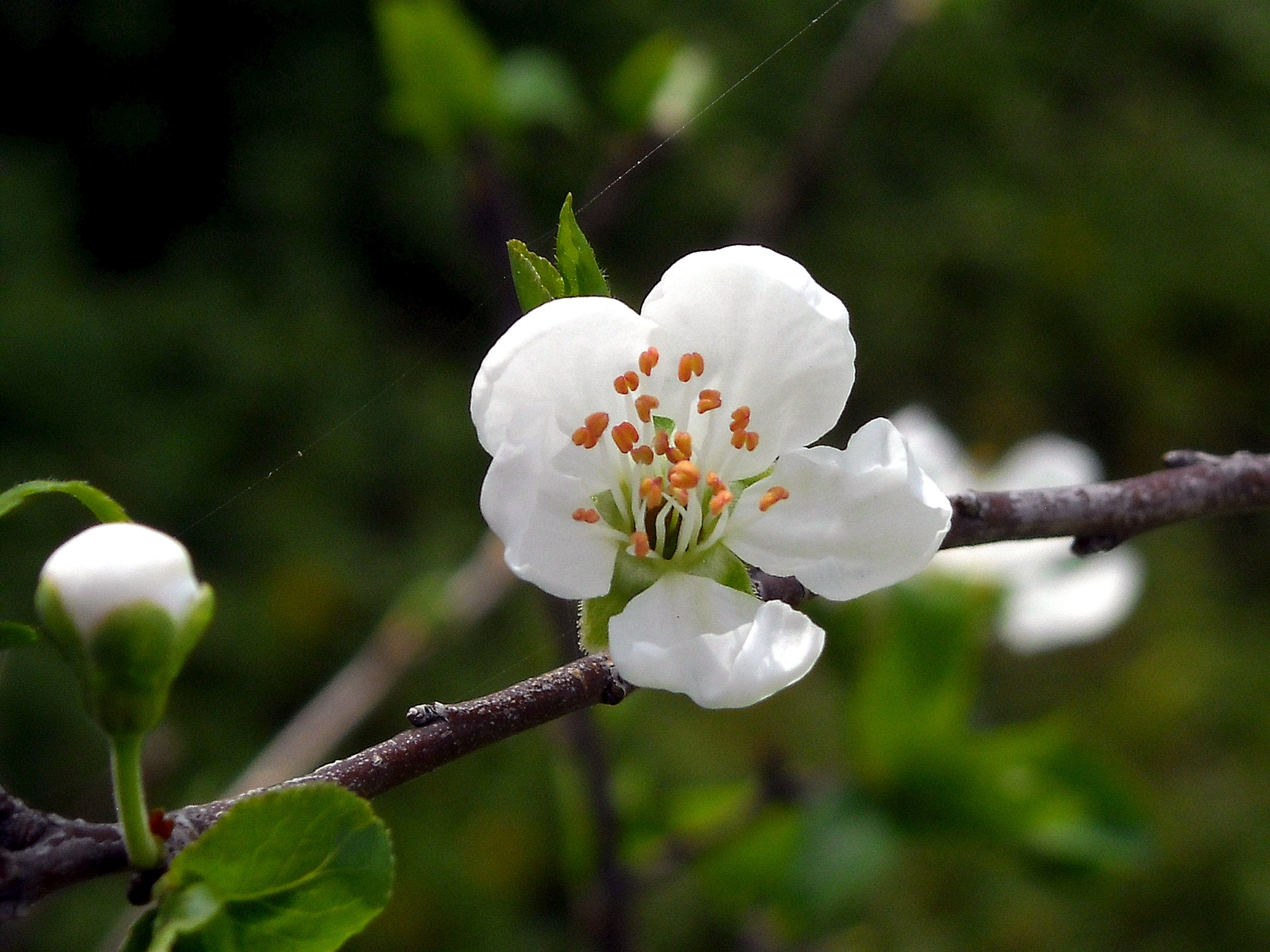 FIRST FLOWER OF GREEN PLUM, MY BACKYARD by Akin Saner