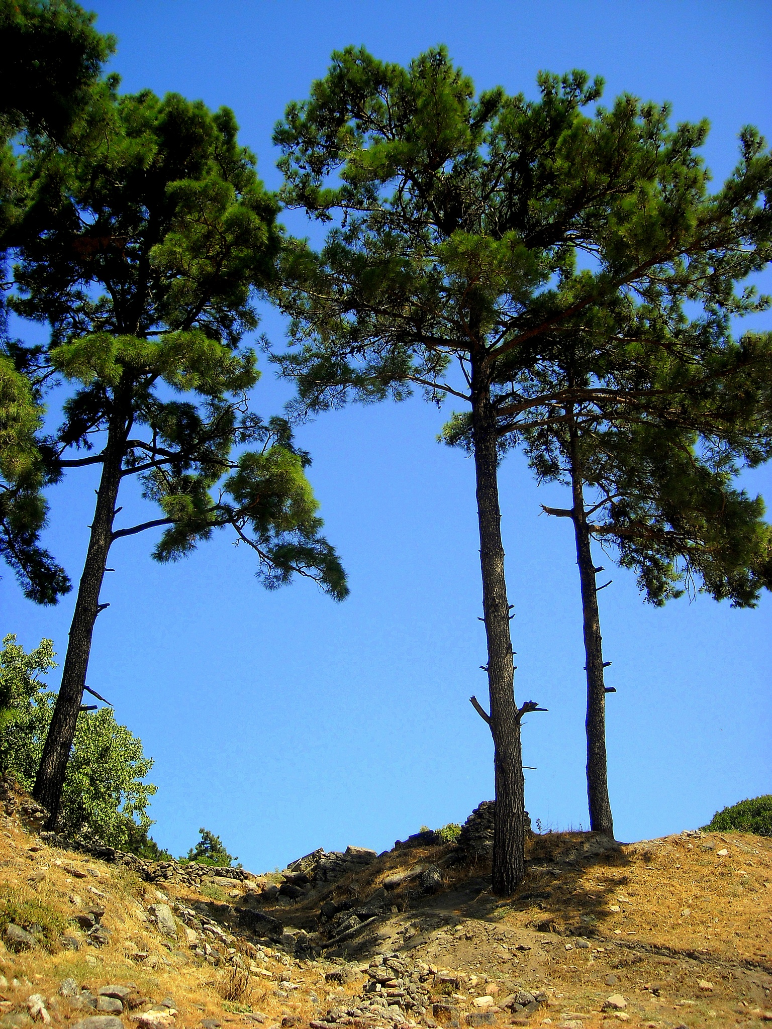 PINE TREES  ON THE HEIGHTS OF LABRANDA HISTORICAL SITE, MILAS, MUGLA/TURKEY by Akin Saner