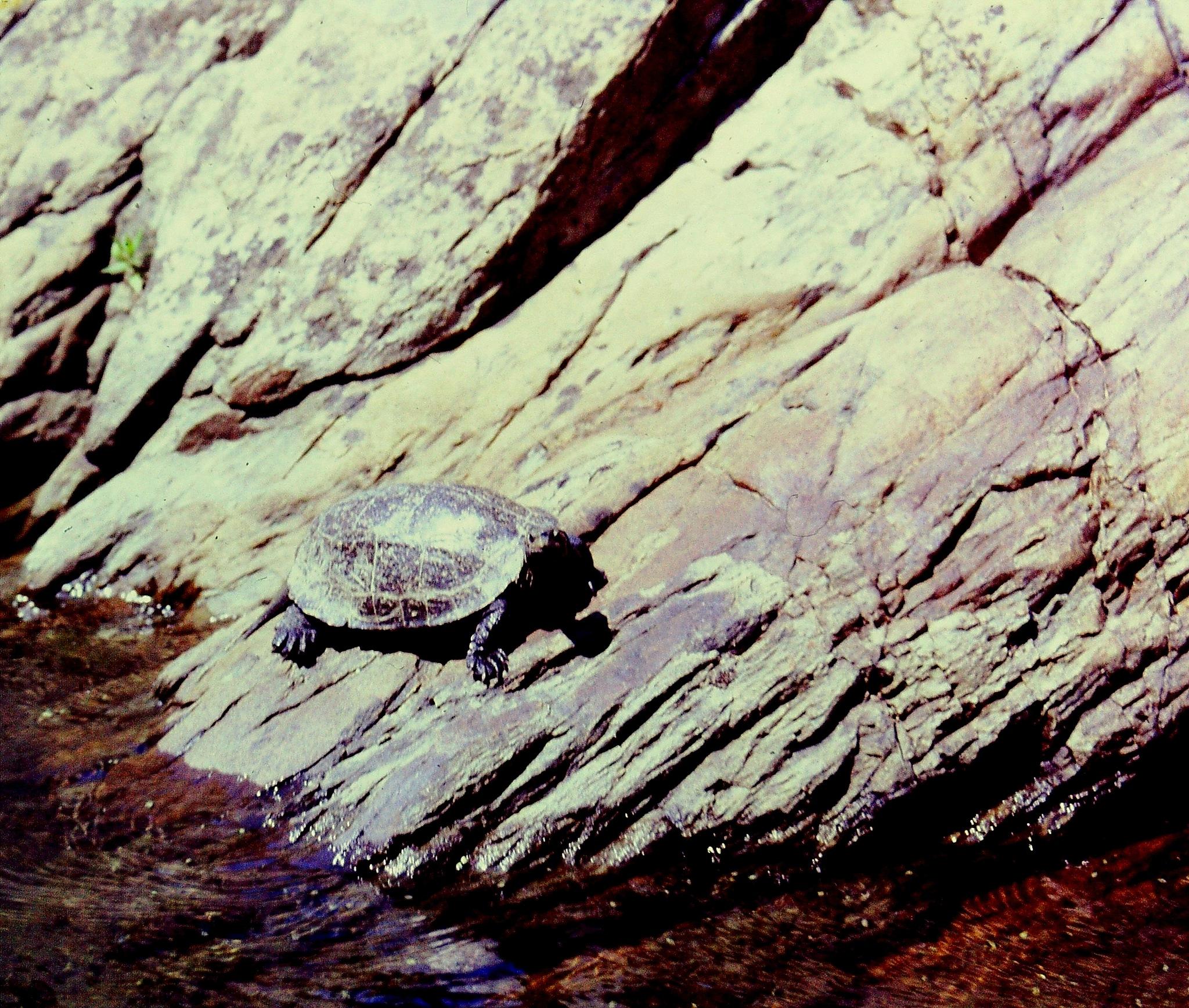 SEA TURTLE GETTING SOME SUNSHINE, FULL SCREEN by Akin Saner