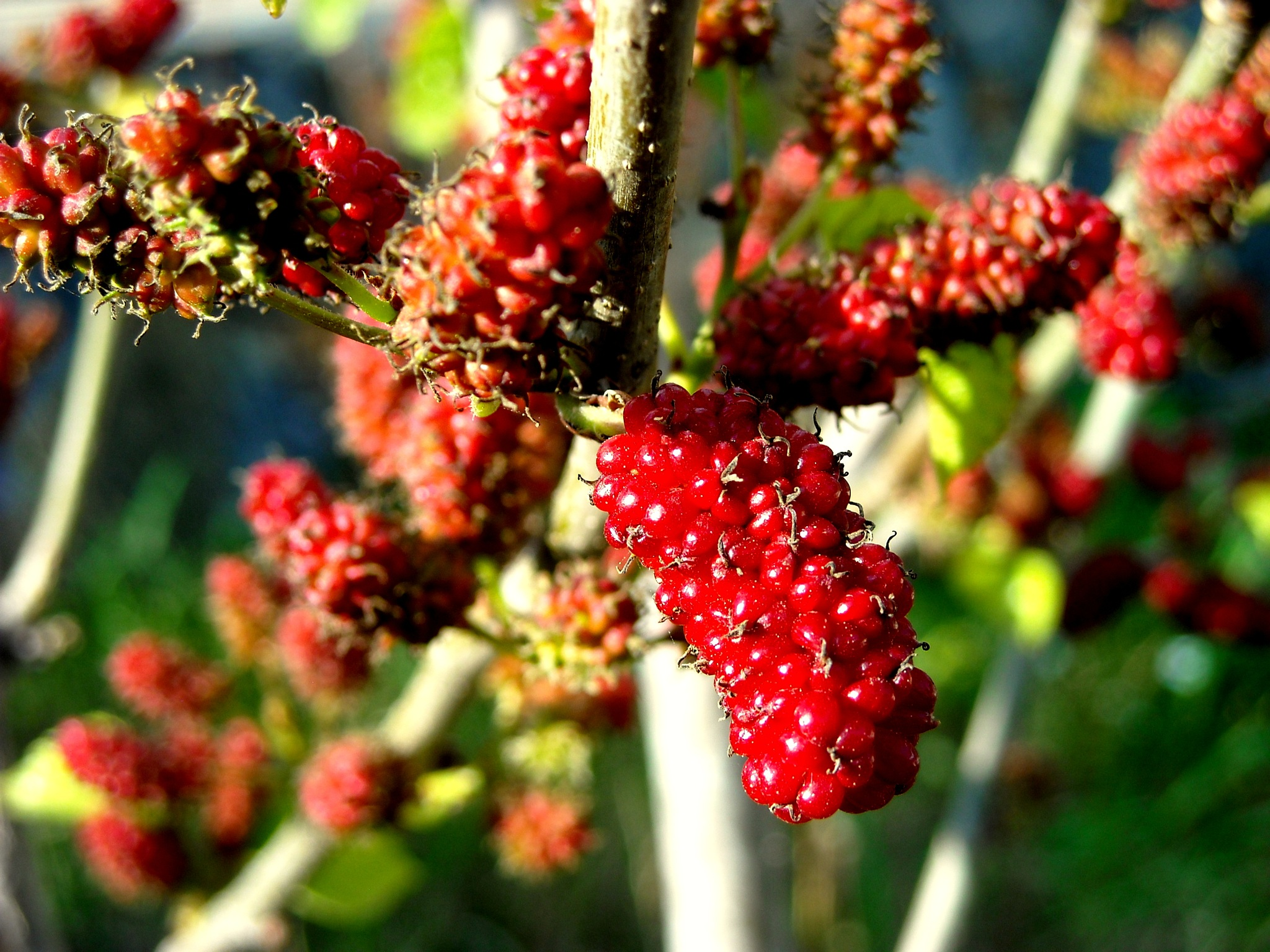 RED MULBERRIES STILL NEED SOME TIME, MY GARDEN by Akin Saner