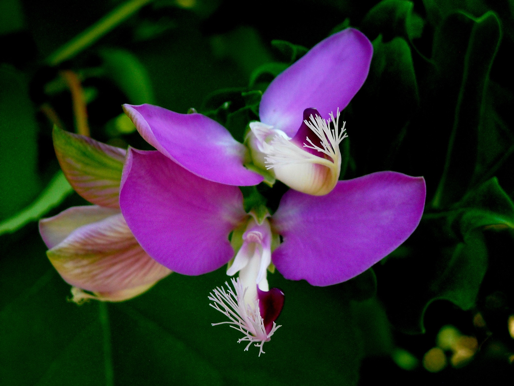 POLYGALA FLOVER, CLOSE UP by Akin Saner