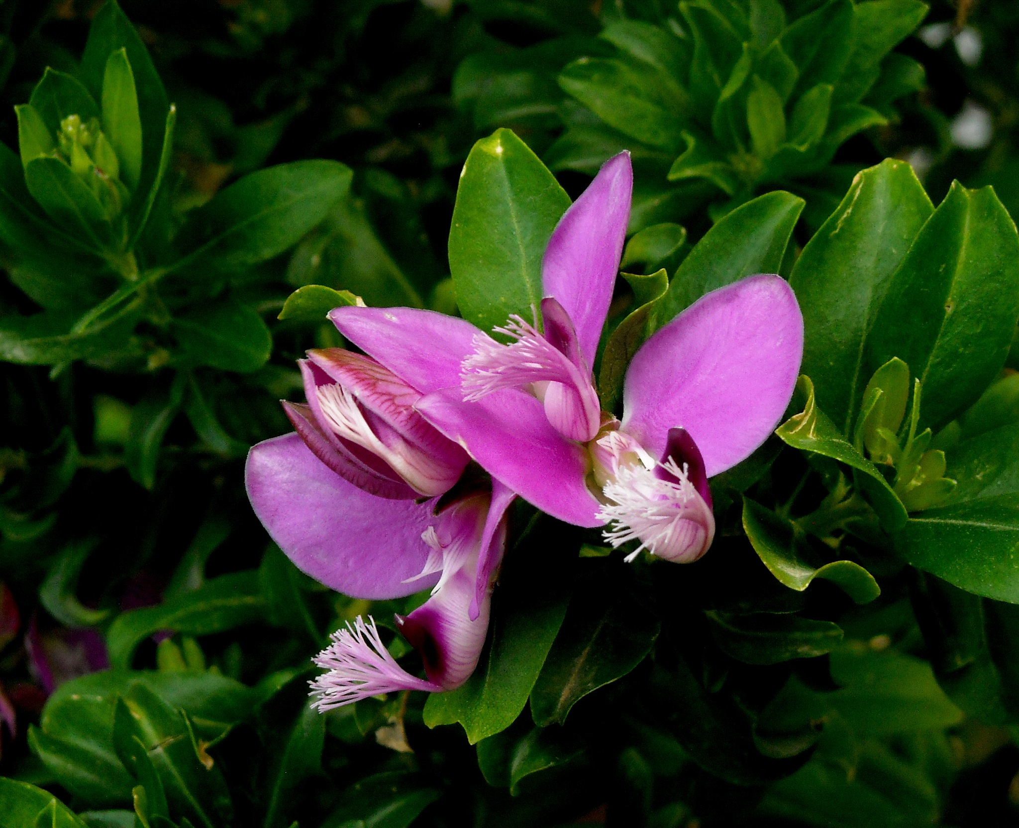 Photo in Macro #polygala flowers #from #my garden #close up #bitez #bodrum