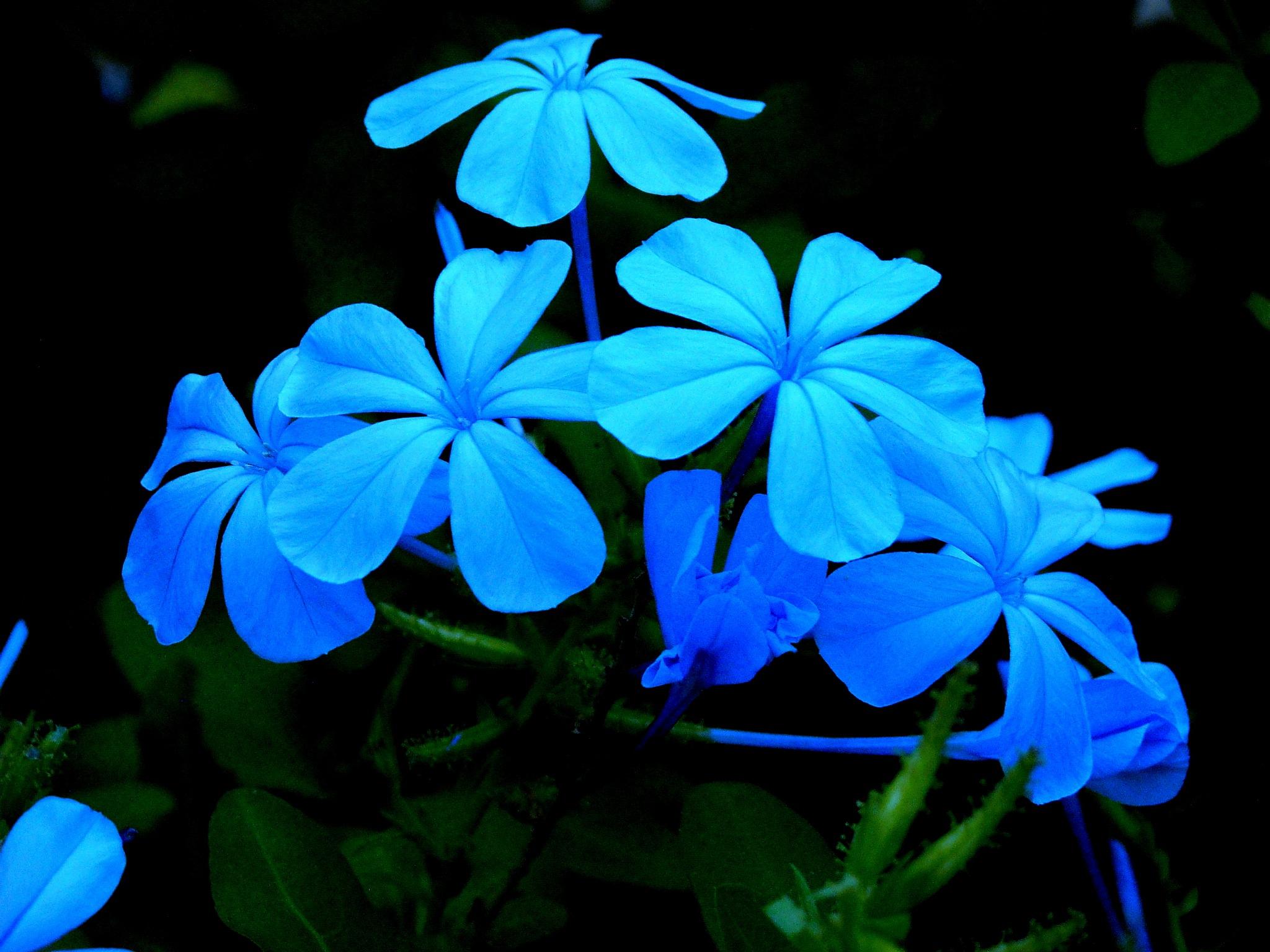 BLUE JASMINES by Akin Saner