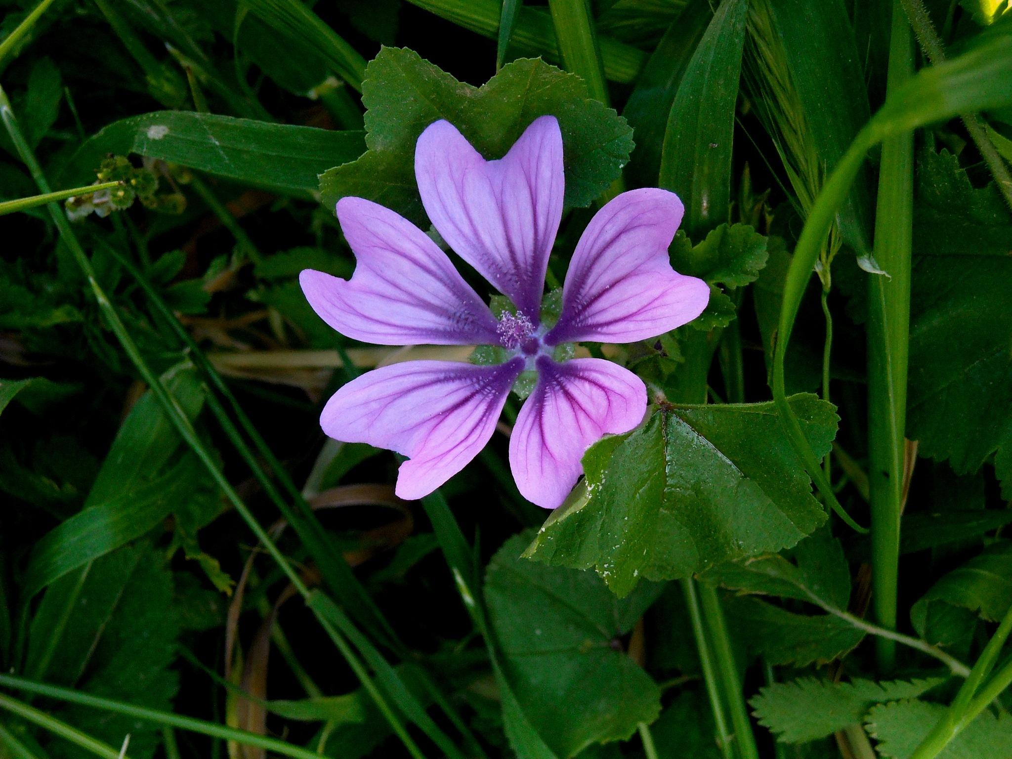 HIBISCUS  FLOWER, CLOSE UP by Akin Saner