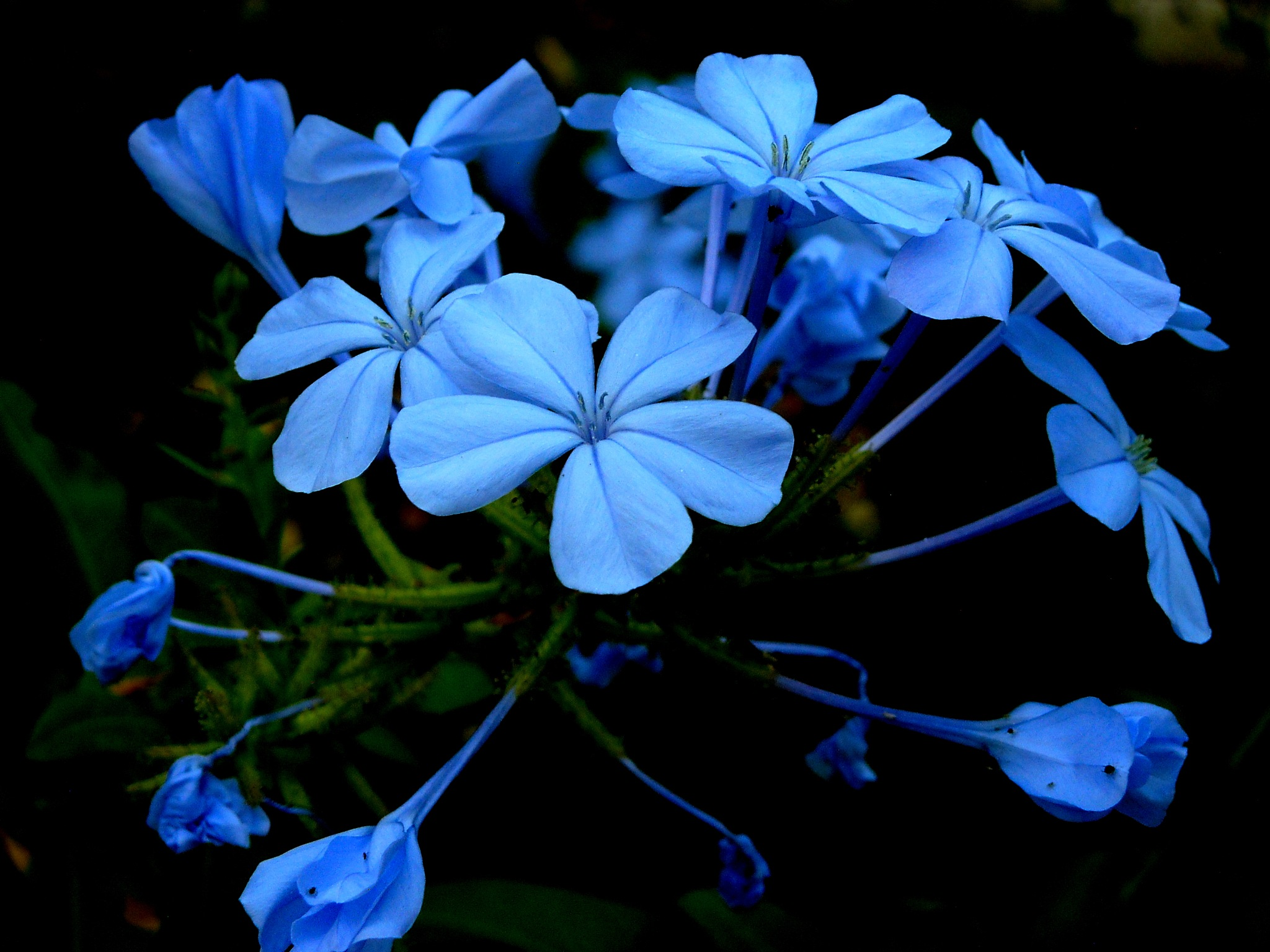BUNCH OF BLUE JASMINES, CLOSE UP by Akin Saner