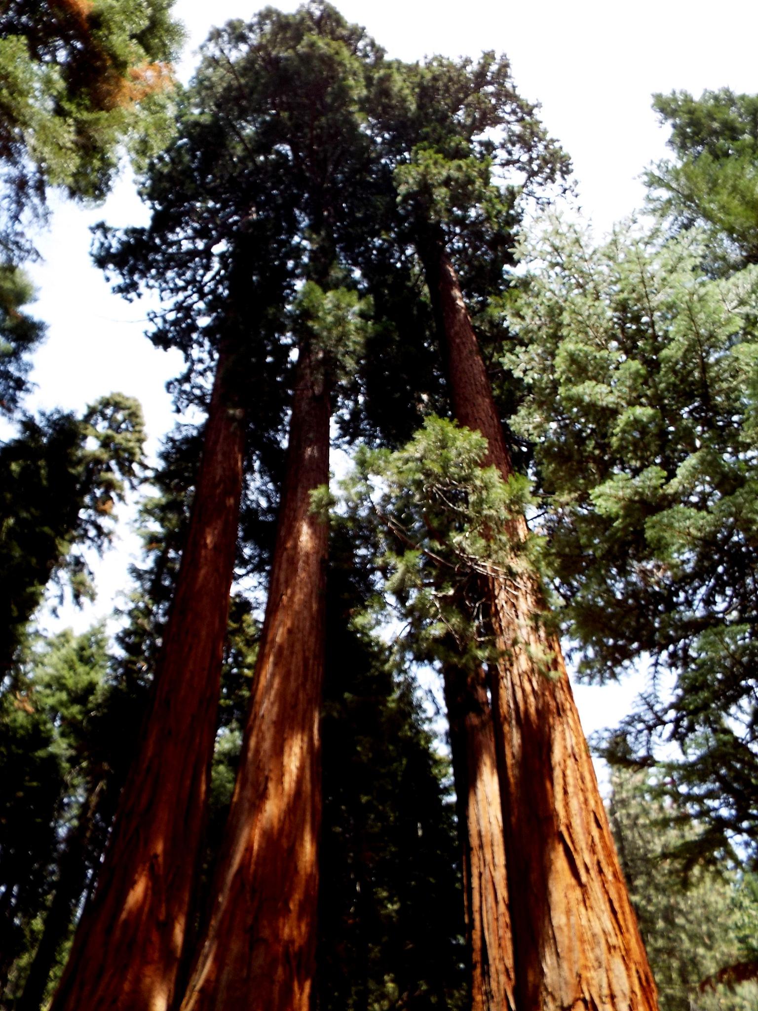 GIANT SEQUOIA TREES, SPRINGVILLE, CA USA by Akin Saner