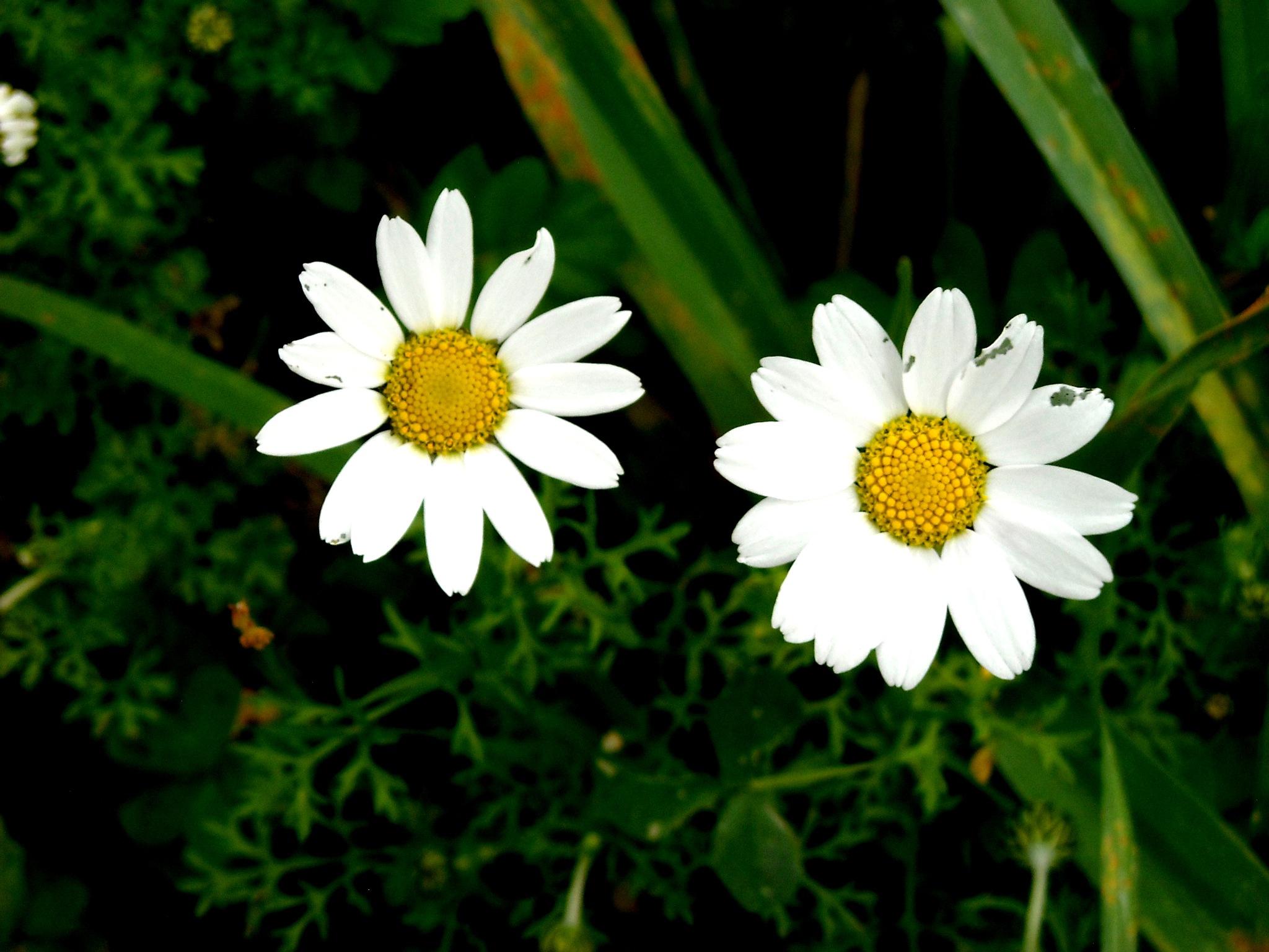 Photo in Macro #sister daisies #bitez #my garden #bodrum #close up