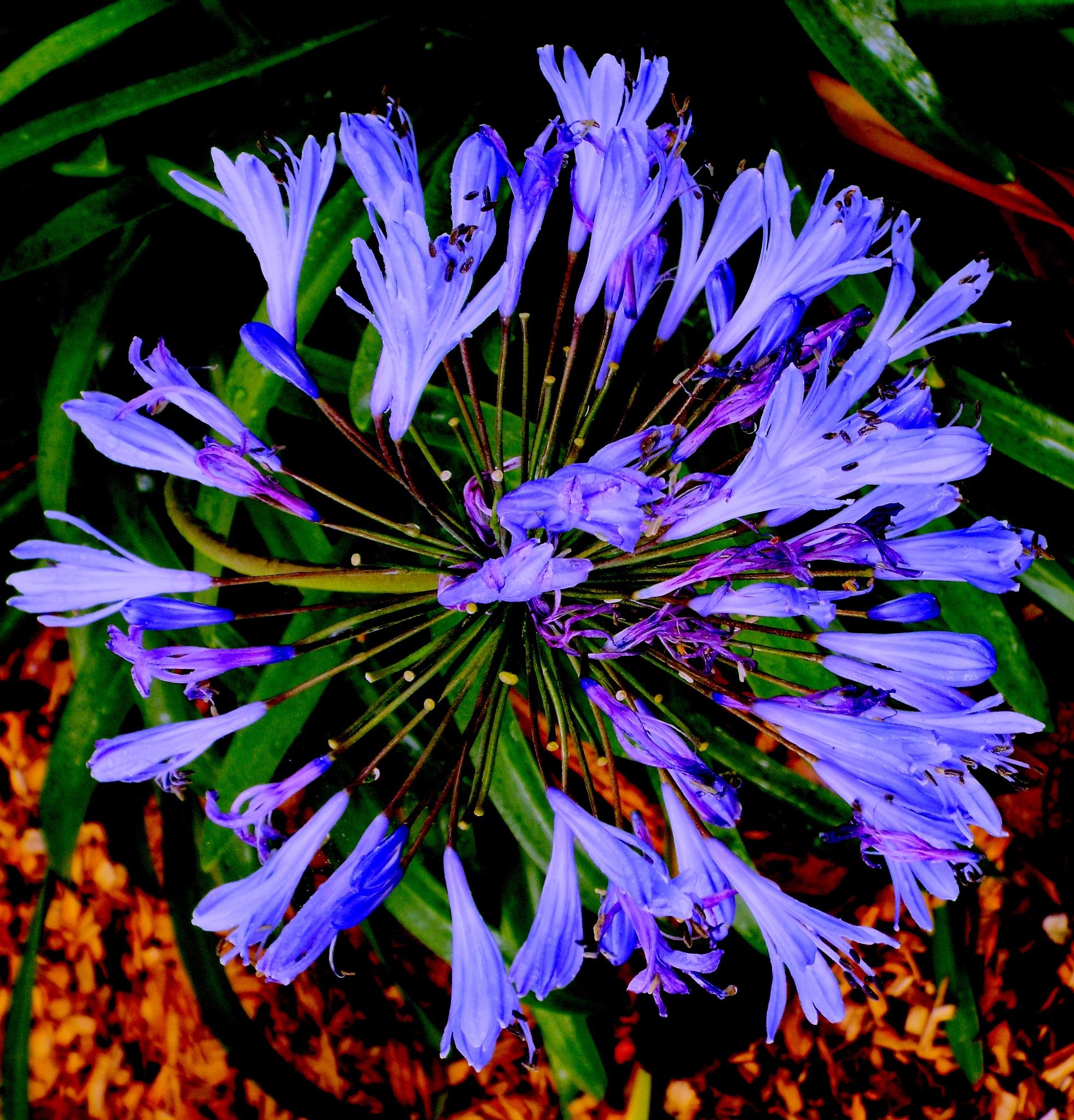 WILD FLOWER,  DEEP BLUE DOUGLAS IRIS, FULL SCREEN by Akin Saner