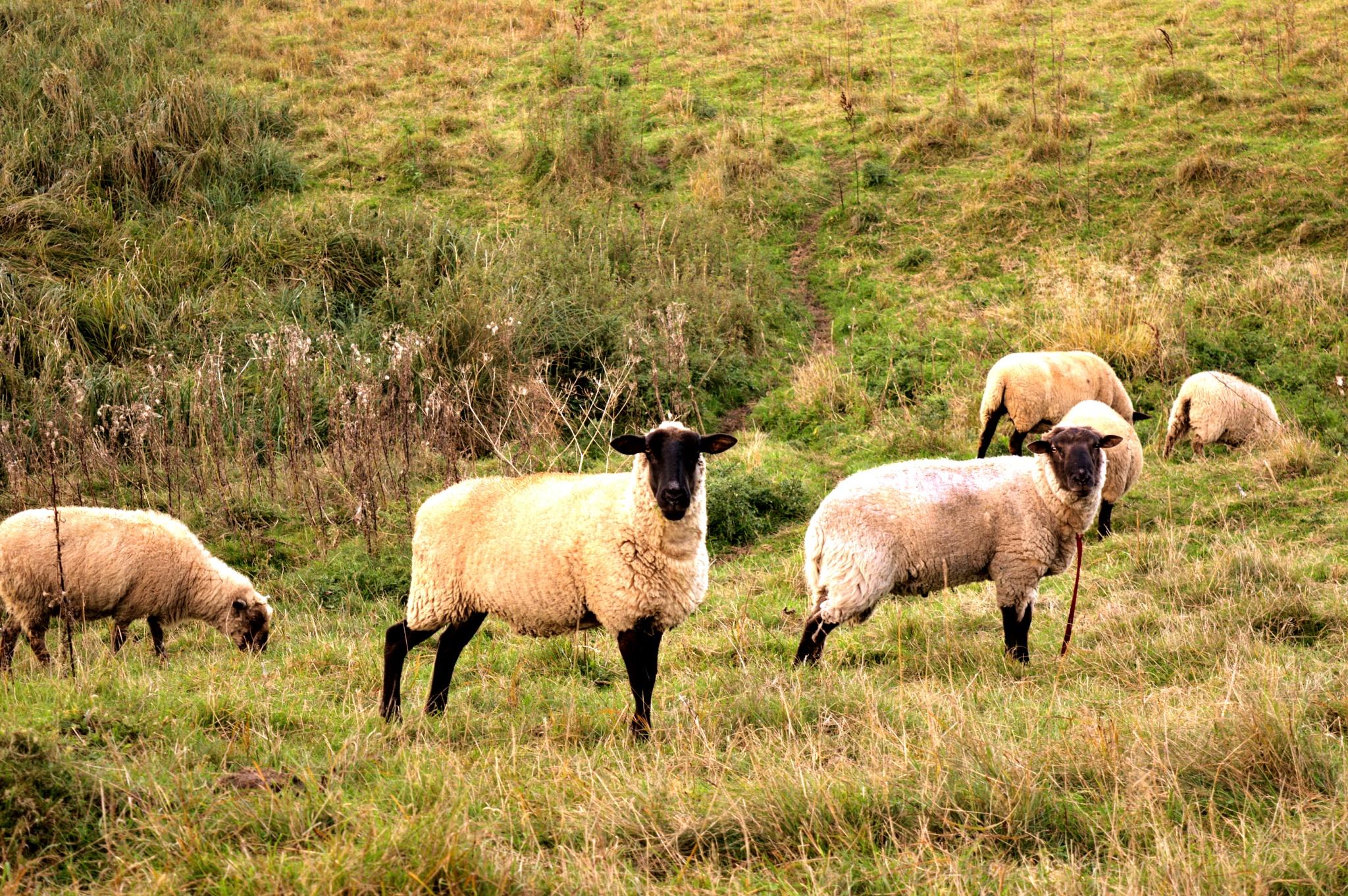 Sheep by Diino