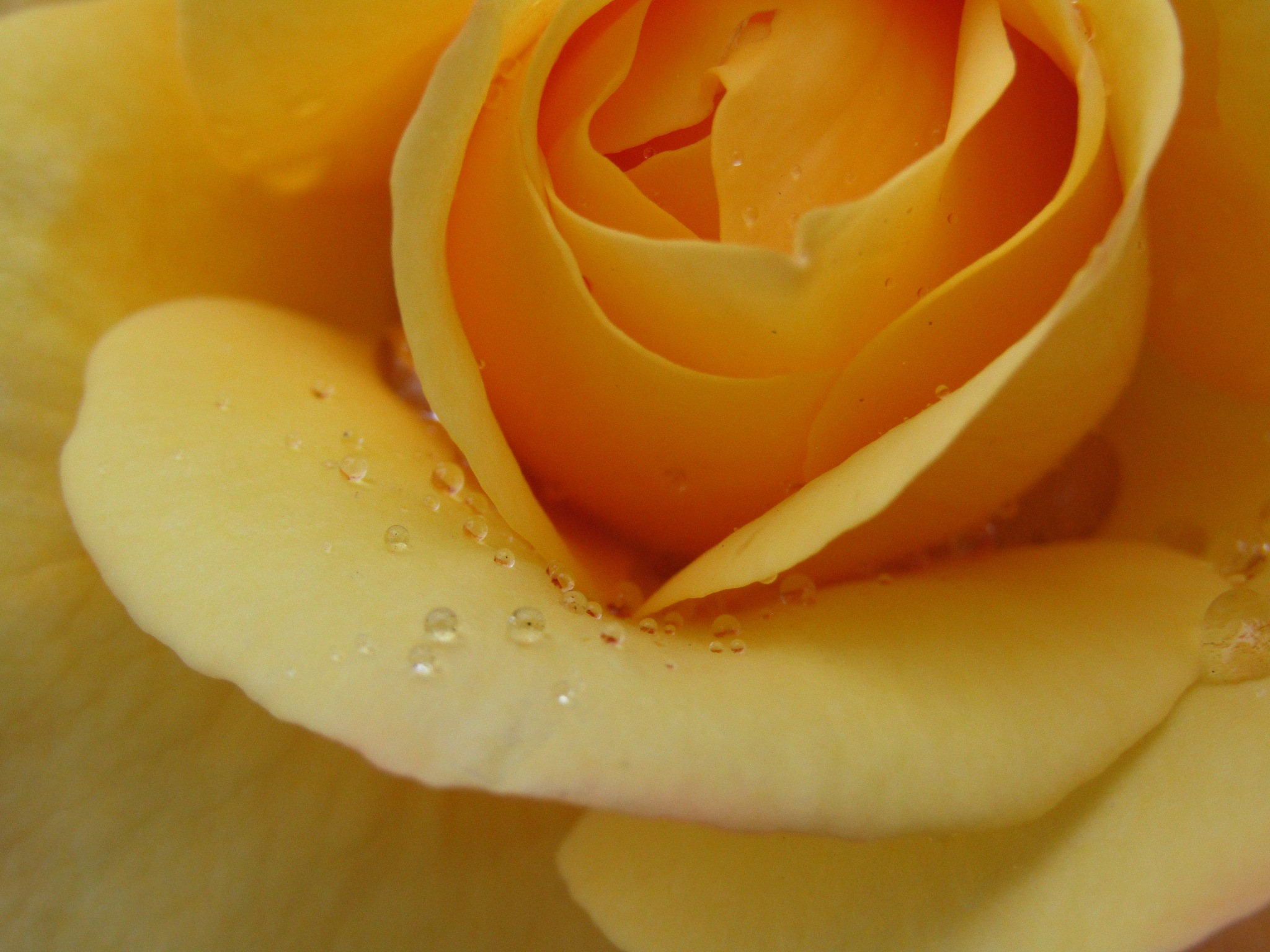 yellow rose by dundacska