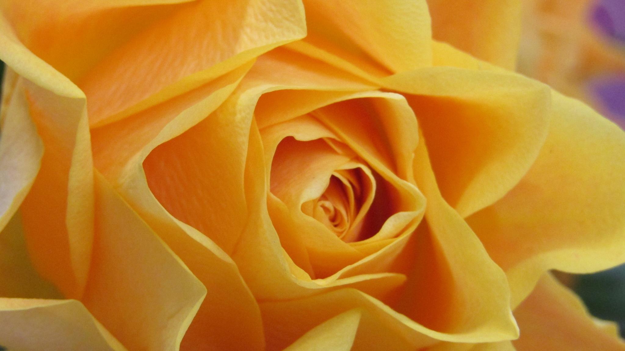 rose by dundacska