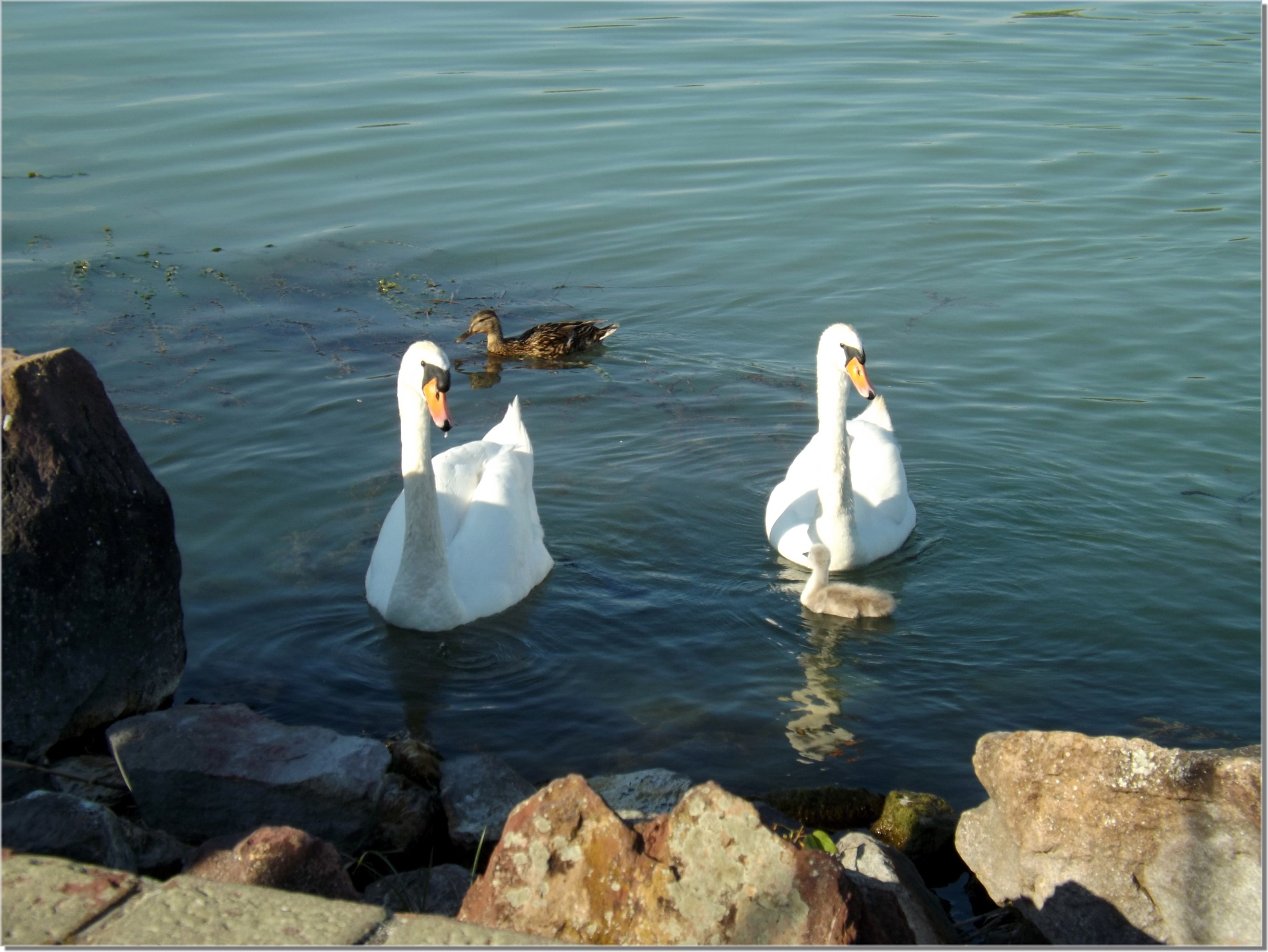 Swan family in Balaton lake by Imre Lakat