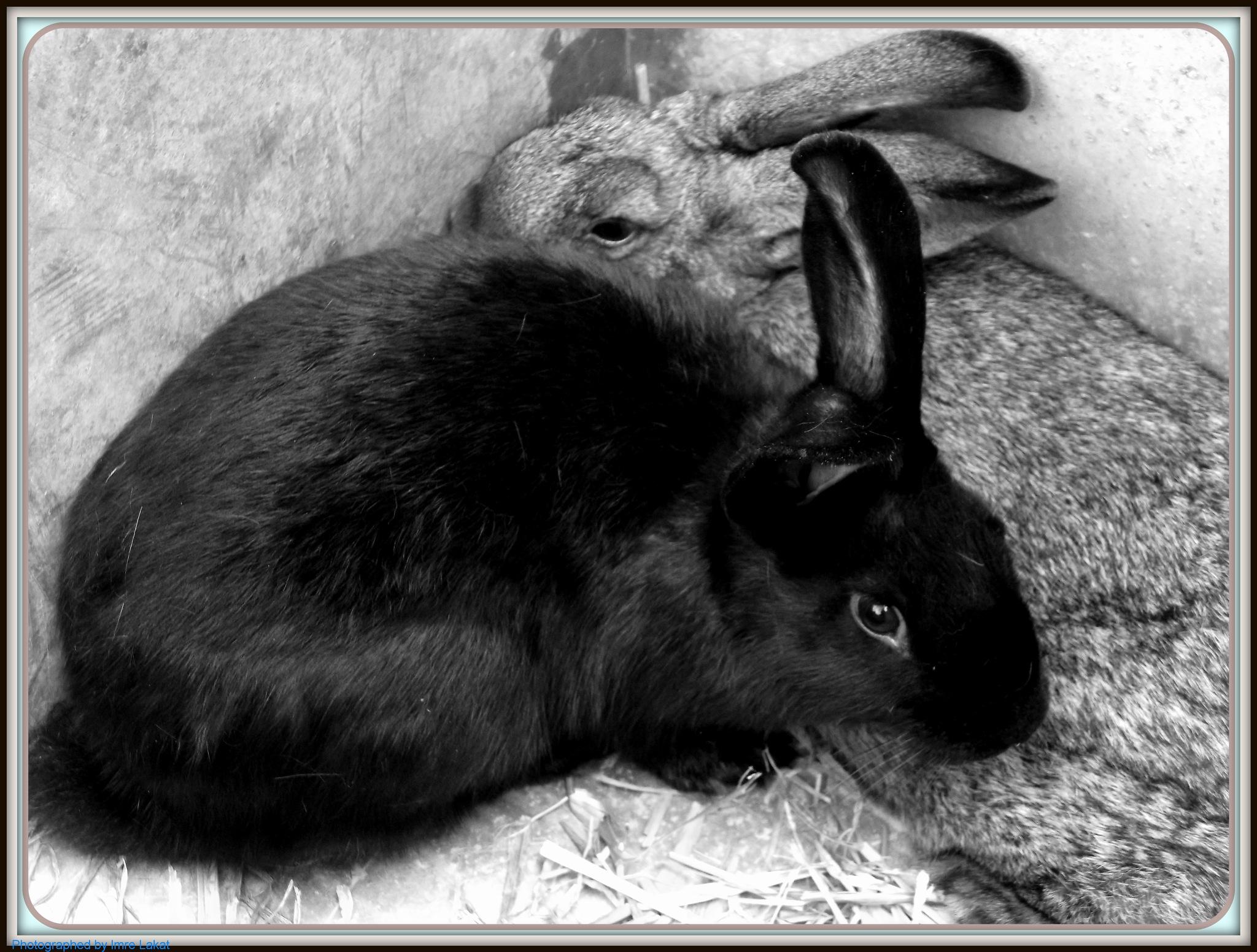 Cuddly Rabbit by Imre Lakat
