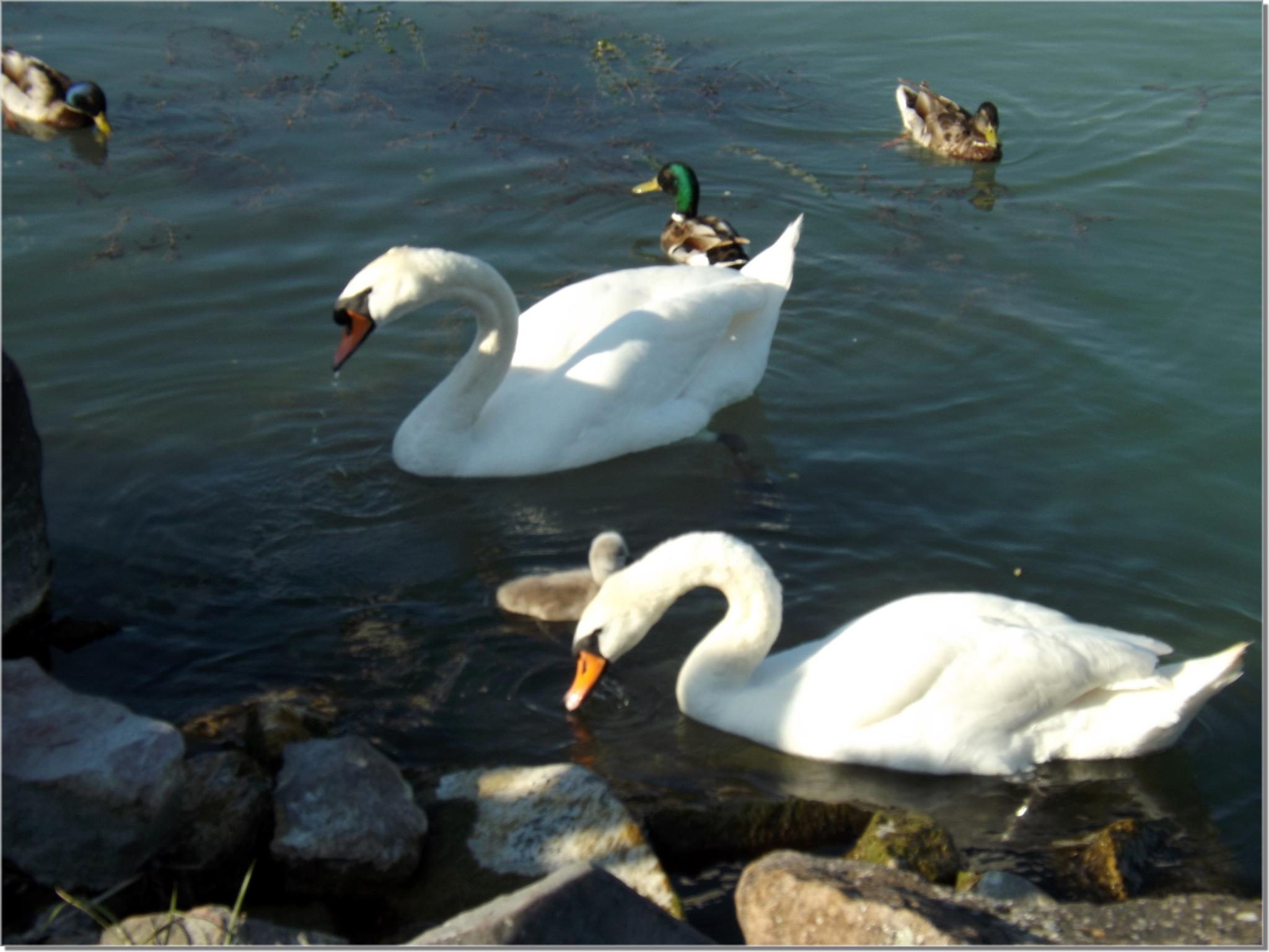 Swan family in Balaton lake by Imre Lakat