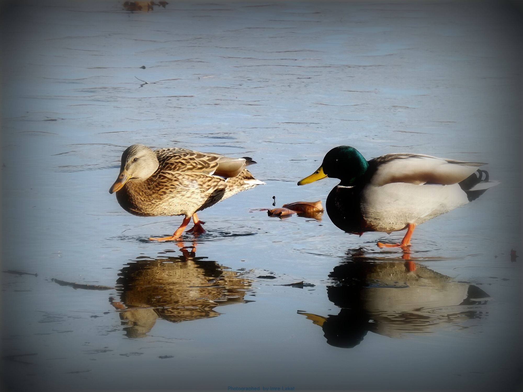 A pair of ducks on the frozen ice by Imre Lakat
