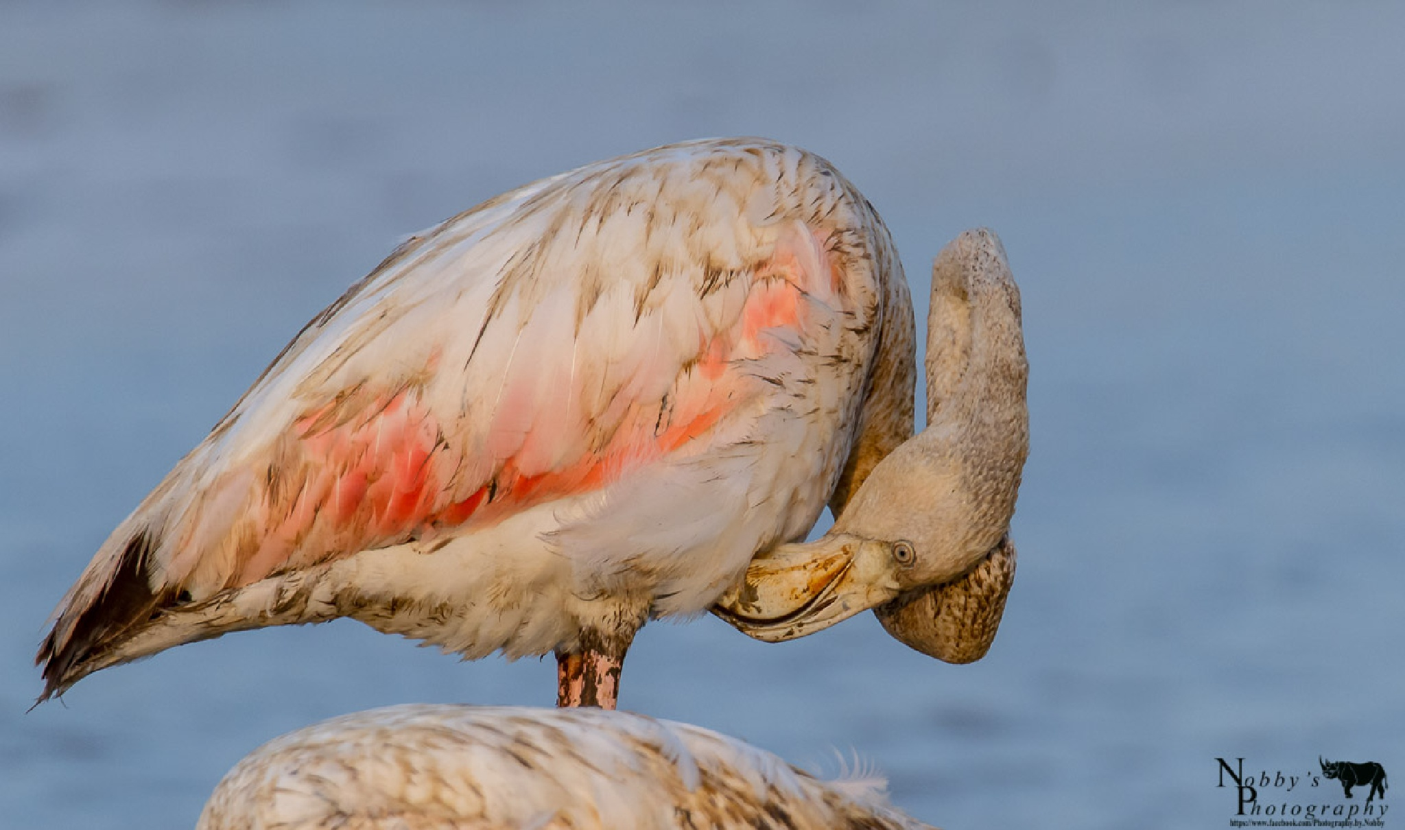 Greater Flamingo by Nobby Clarke