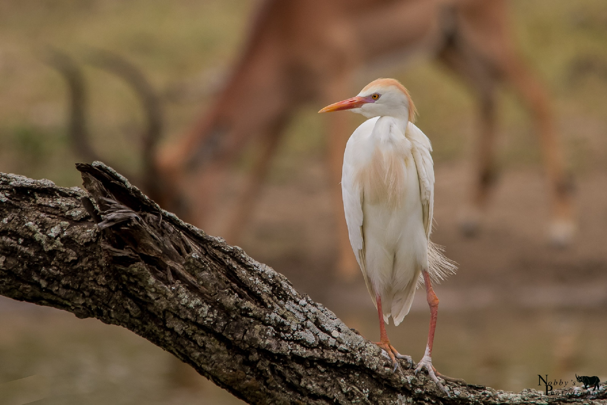 A lonel Egret by Nobby Clarke