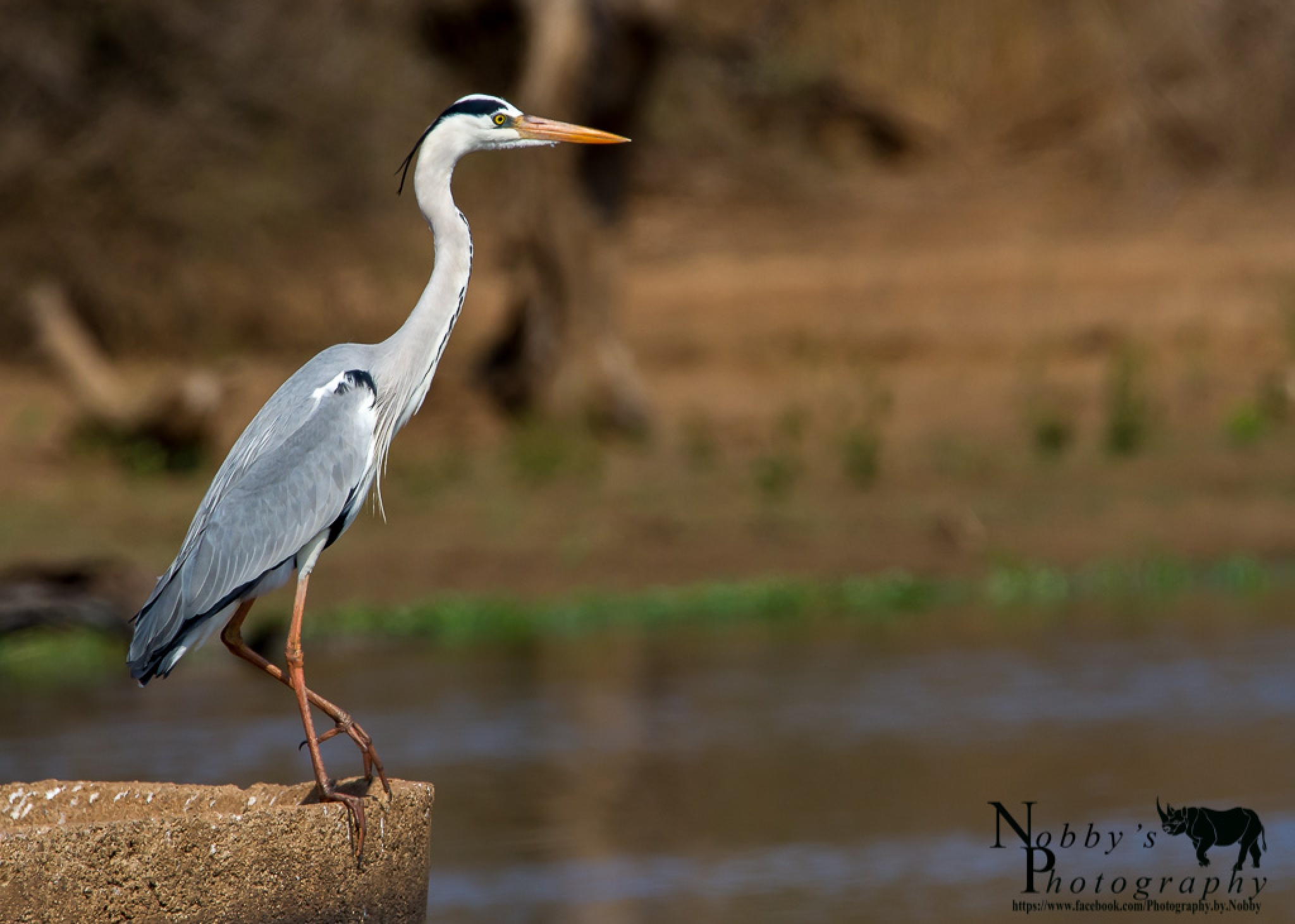 Grey Heron by Nobby Clarke