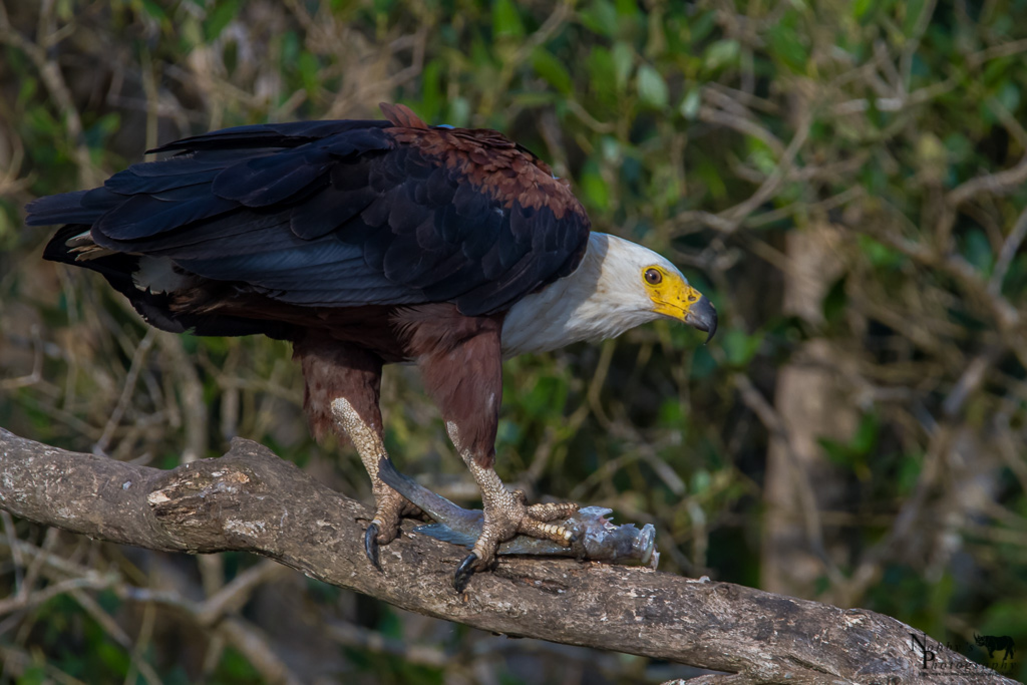 An African fish Eagle with its catch  by Nobby Clarke
