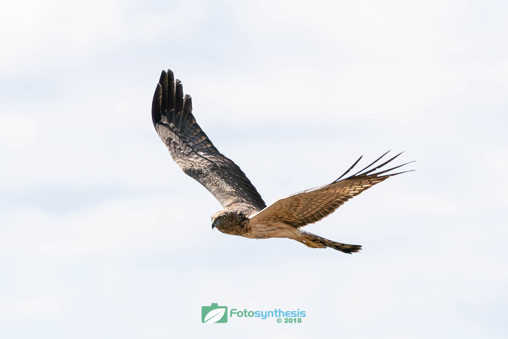 Swamp Harrier Hunting by FotosynthesisAustralia