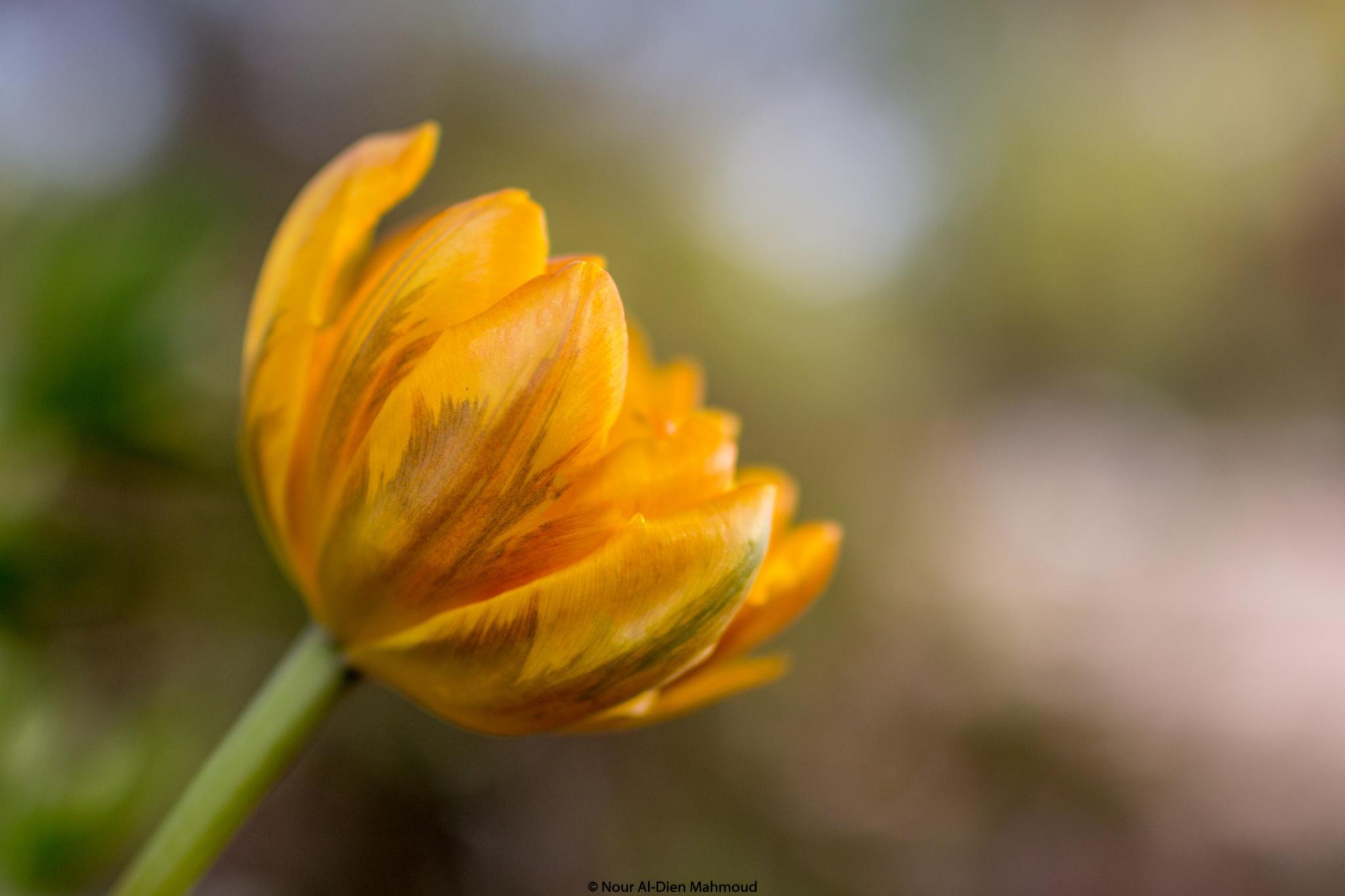 Tulip Love by Nour Al-Dien Mahmoud