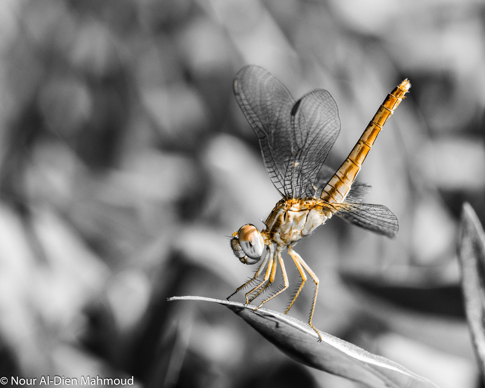 Dragonfly by Nour Al-Dien Mahmoud