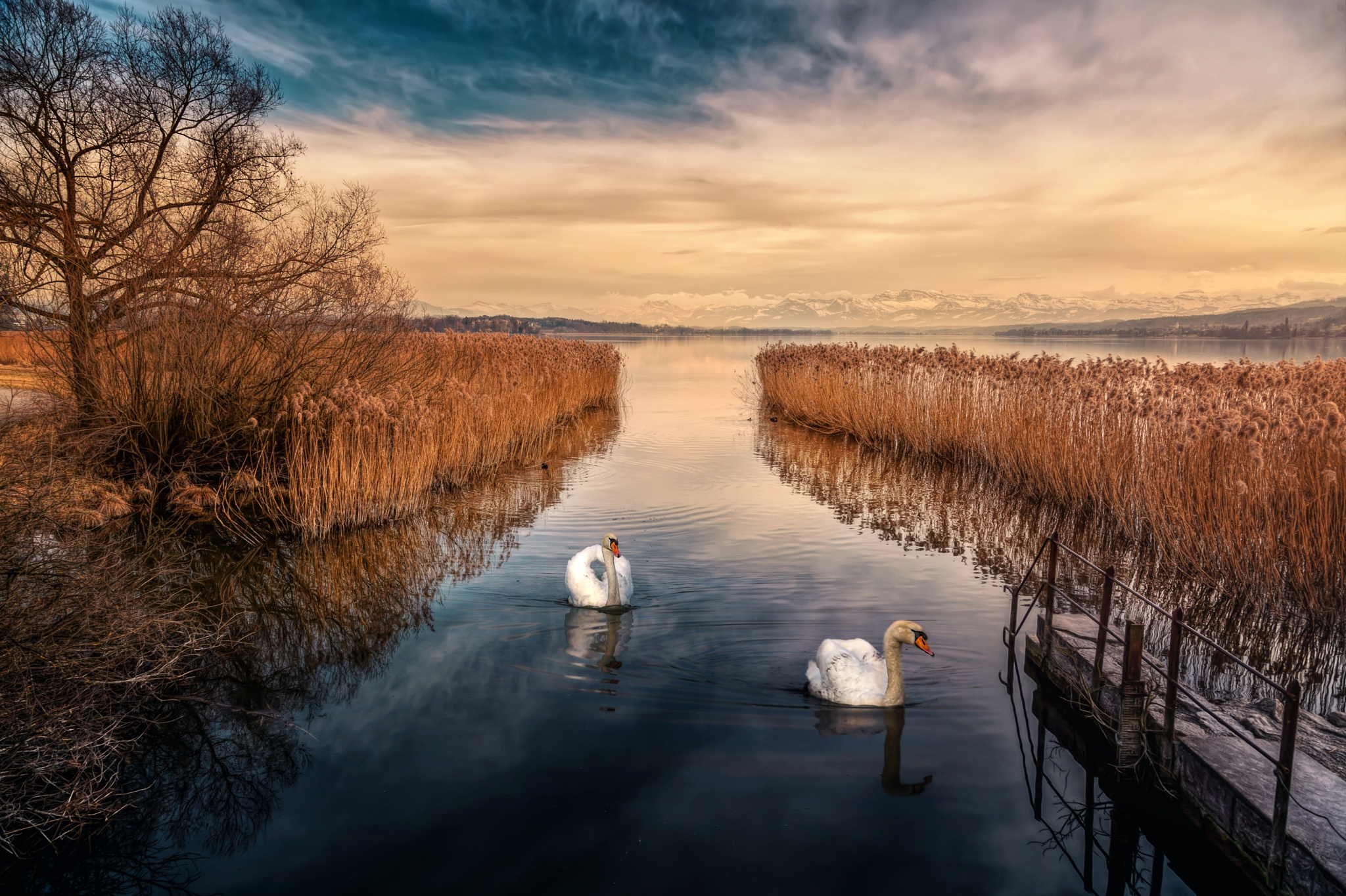 Two swans by chasmahumdrum