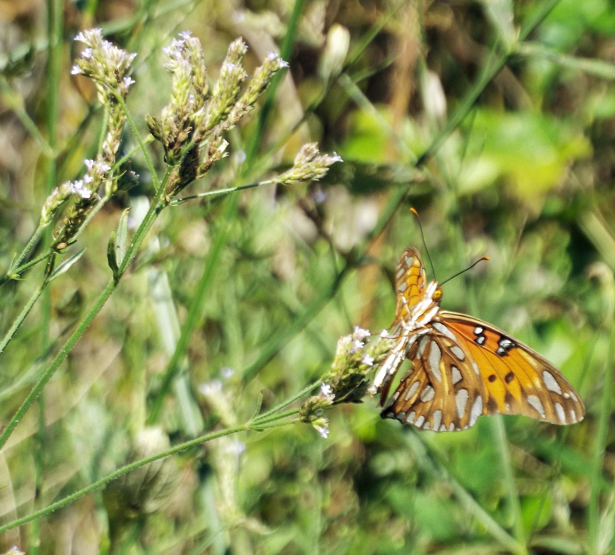 Gulf Fritillary Butterfly by Alex Ingram