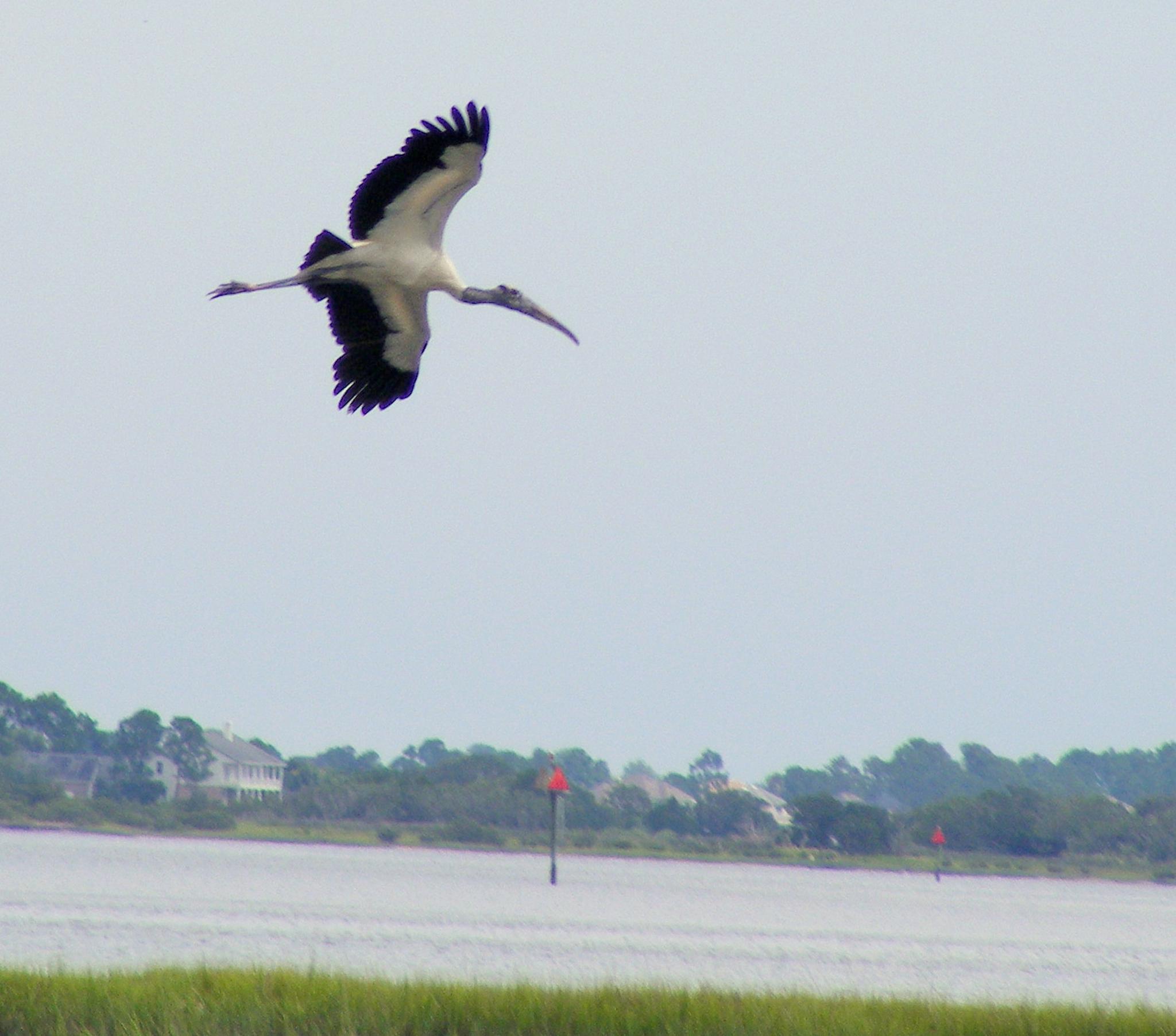 Wood Stork by Alex Ingram