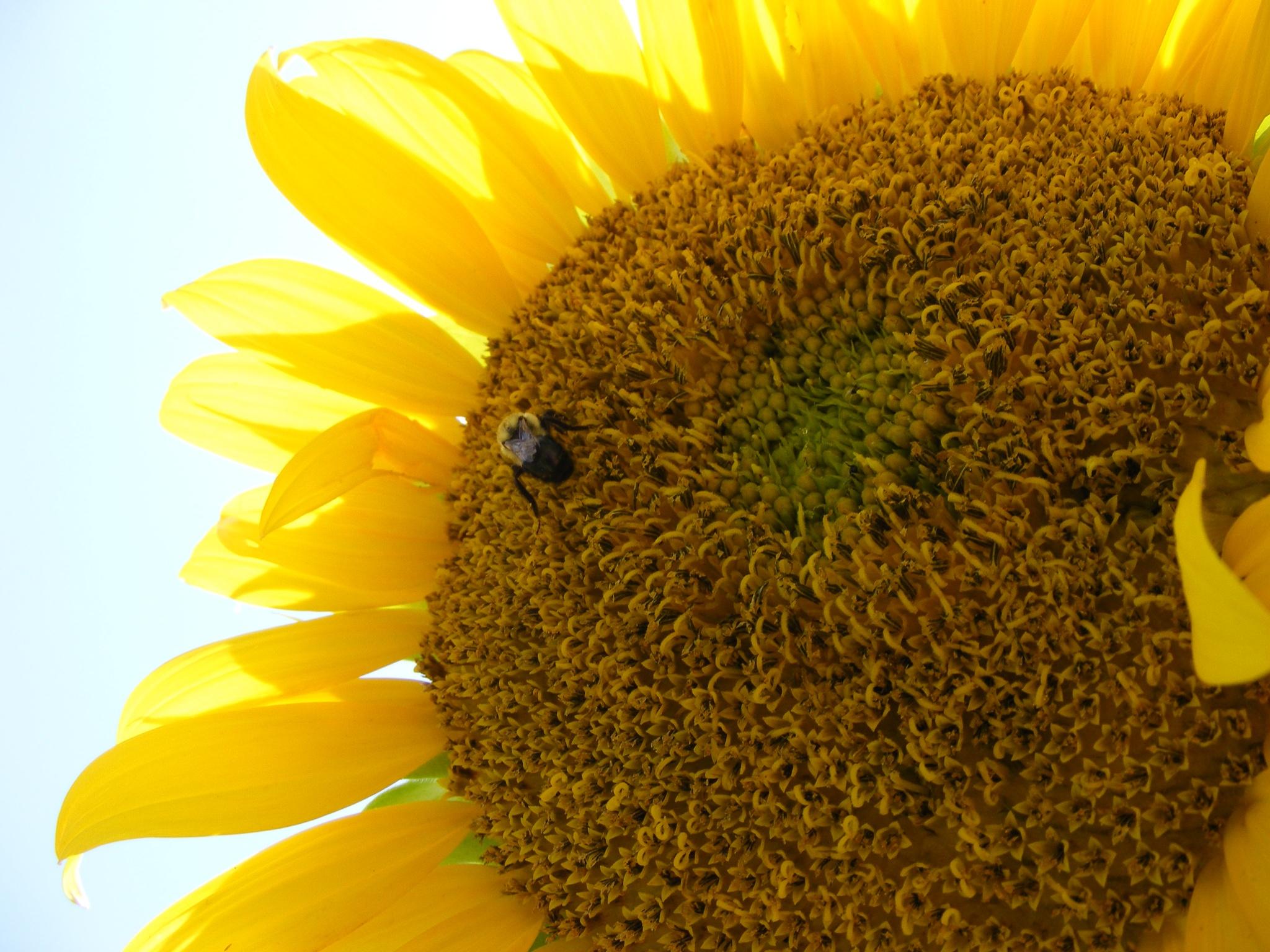 Bee on Sunflower by Alex Ingram