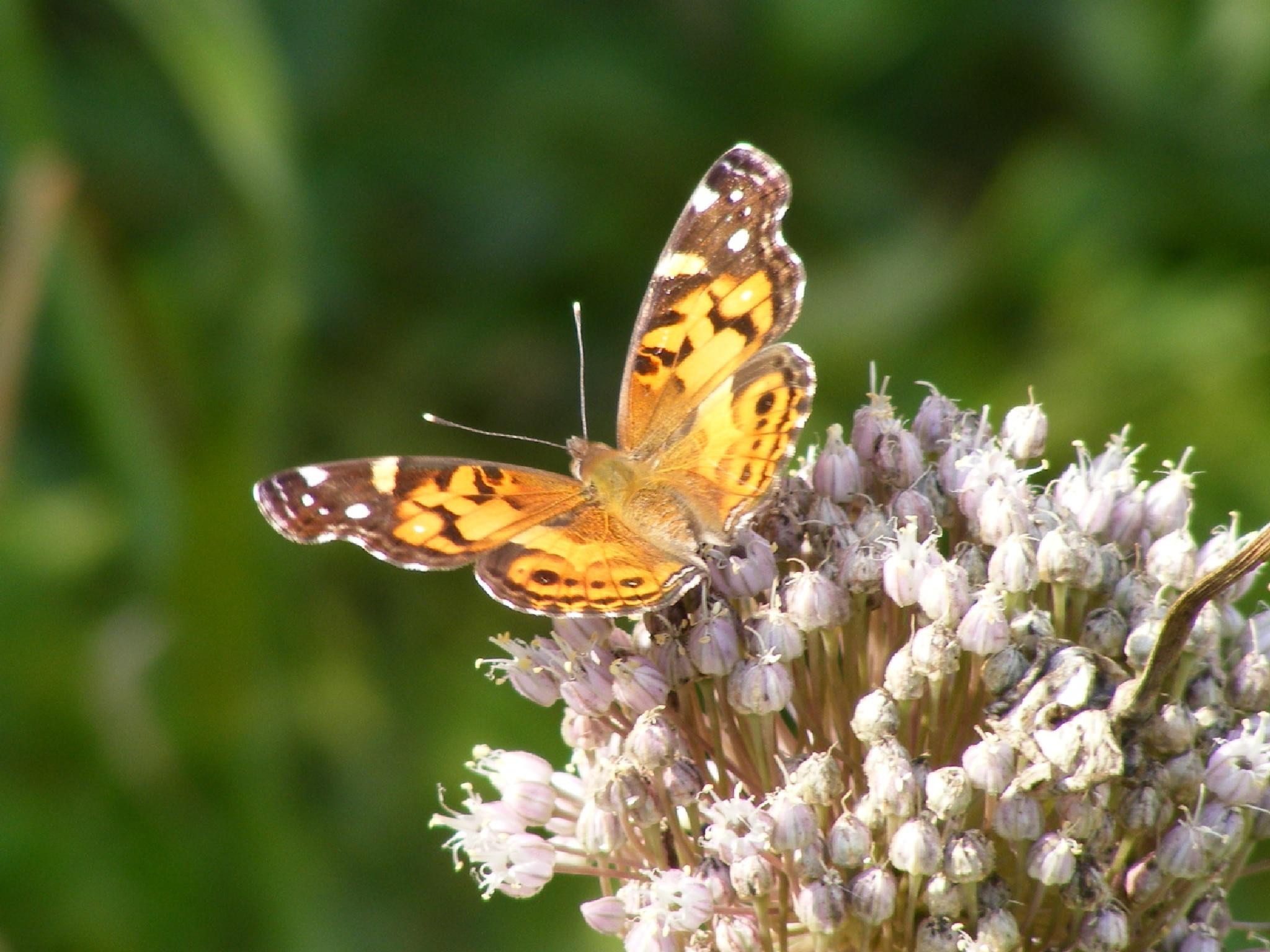 Butterfly with Garlic by Alex Ingram
