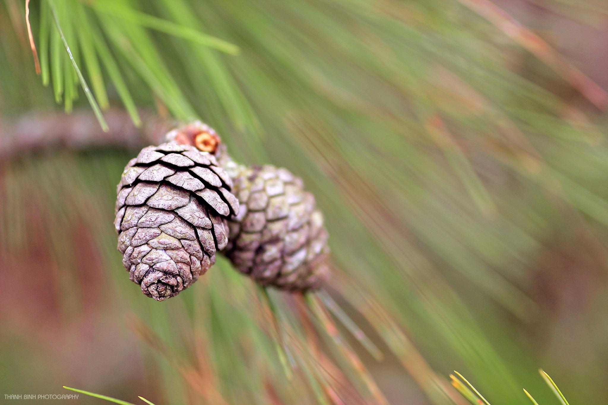 nut pine by binhhtphoto