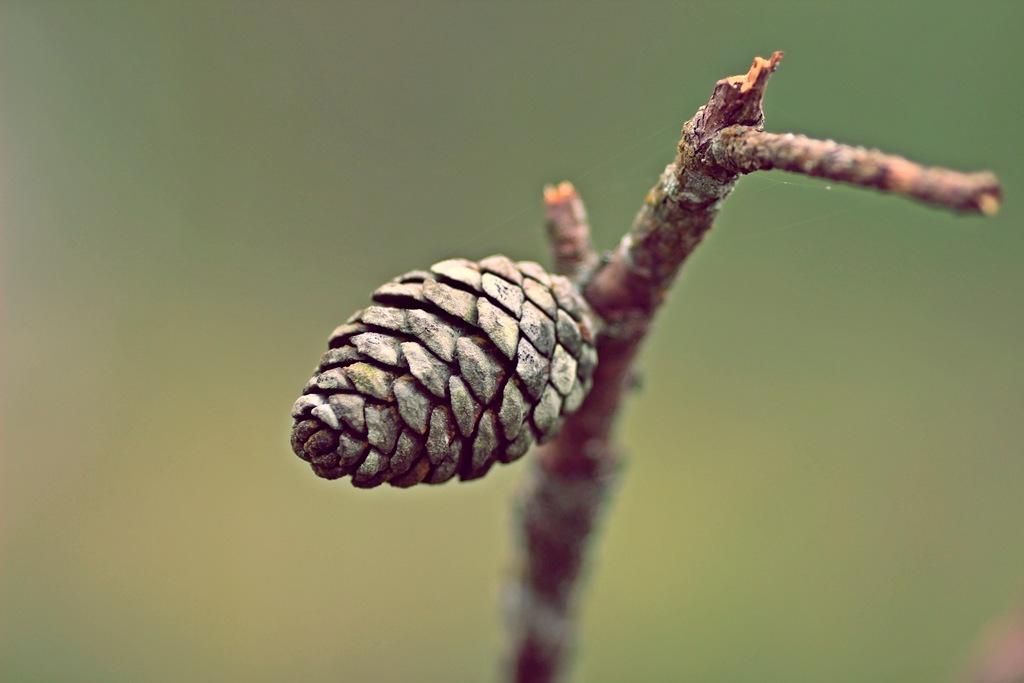 nut pine. by binhhtphoto