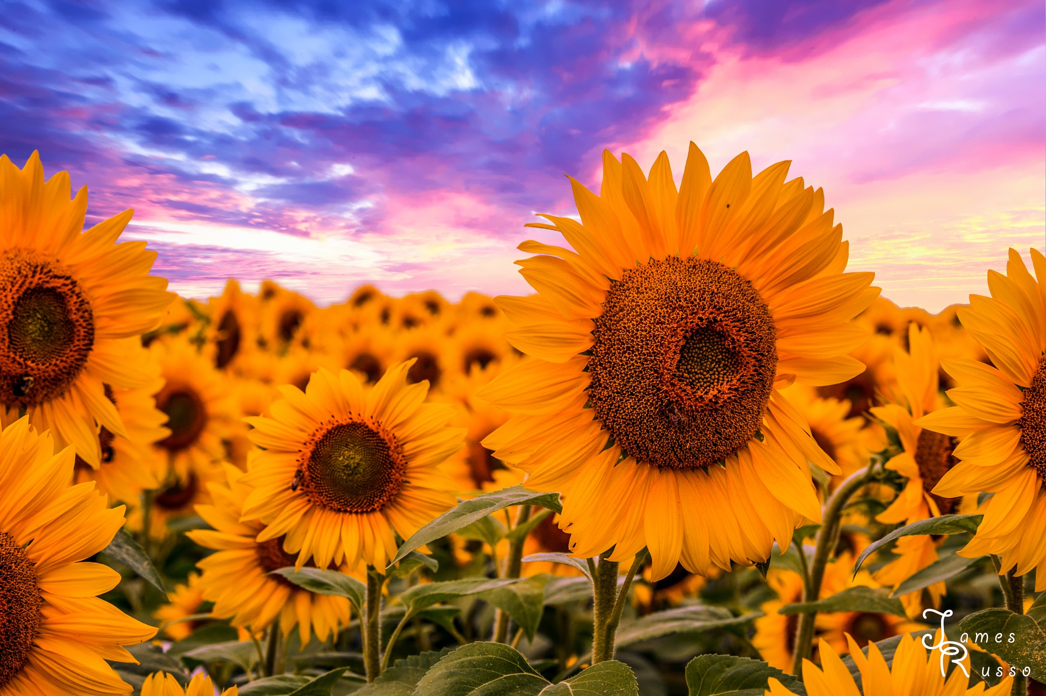 Sun Kissed Sunflowers by James Russo