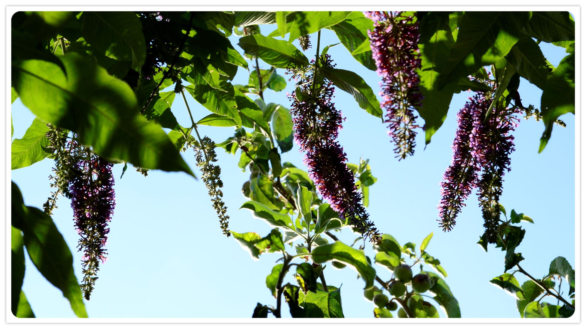 Butterfly bush by Kevin Armsby